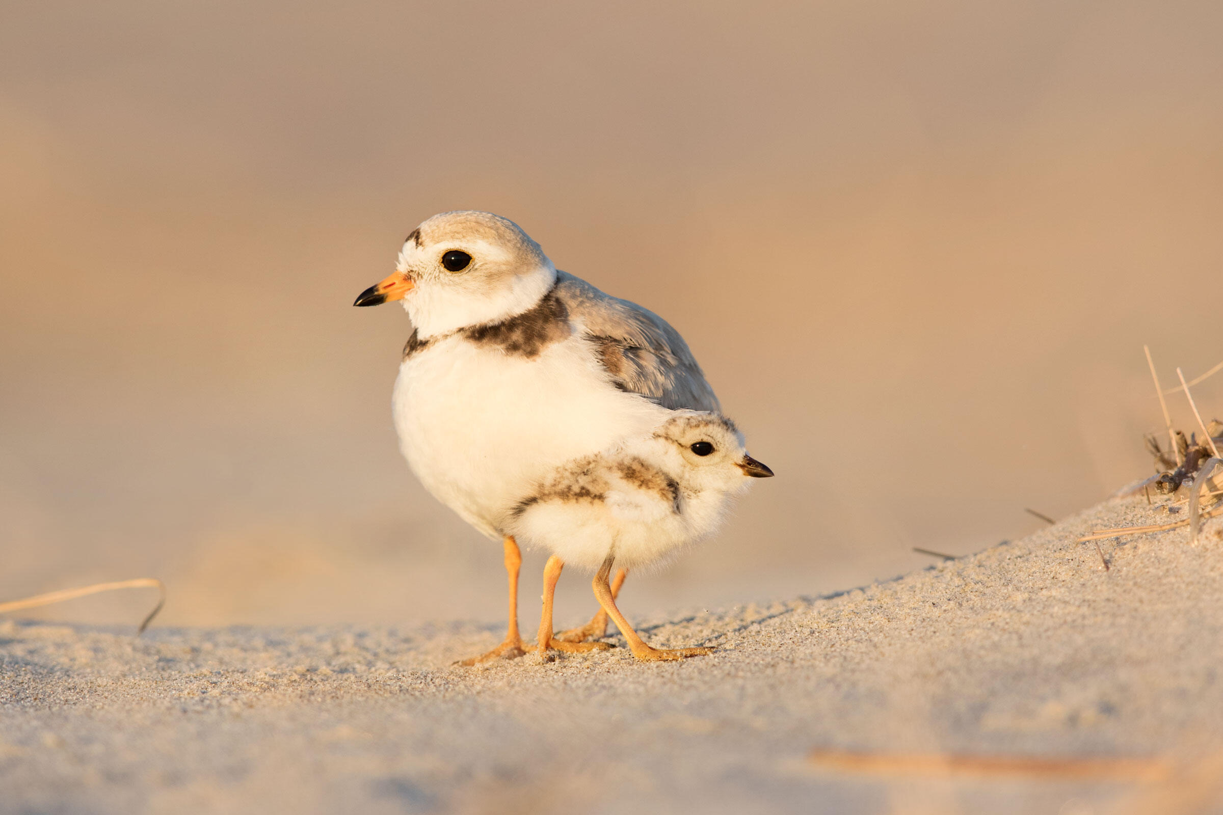 Piping Plovers. Martin Sneary/Audubon Photography Awards