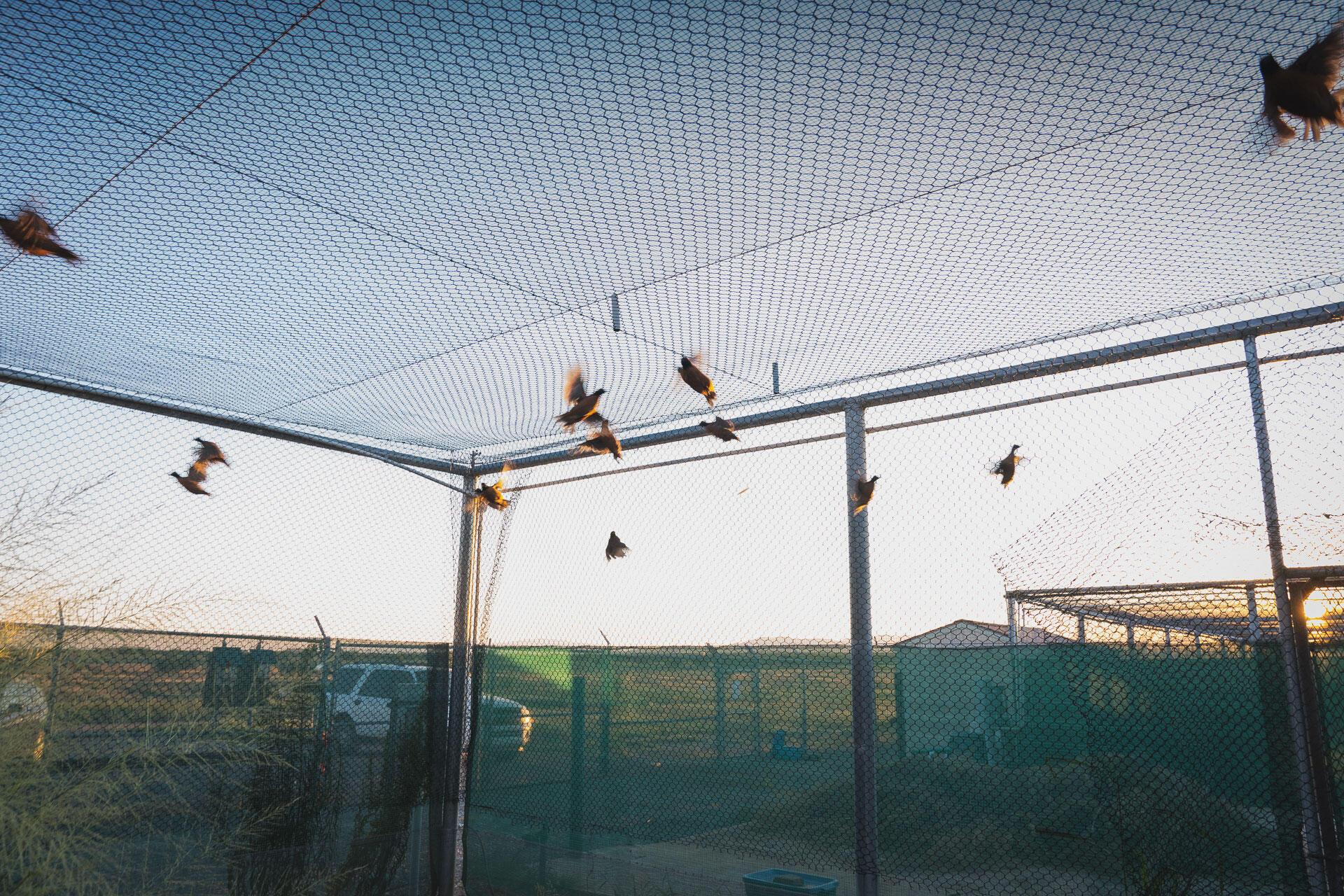 Bobwhites fly around their enclosure at Buenos Aires. Morgan Heim