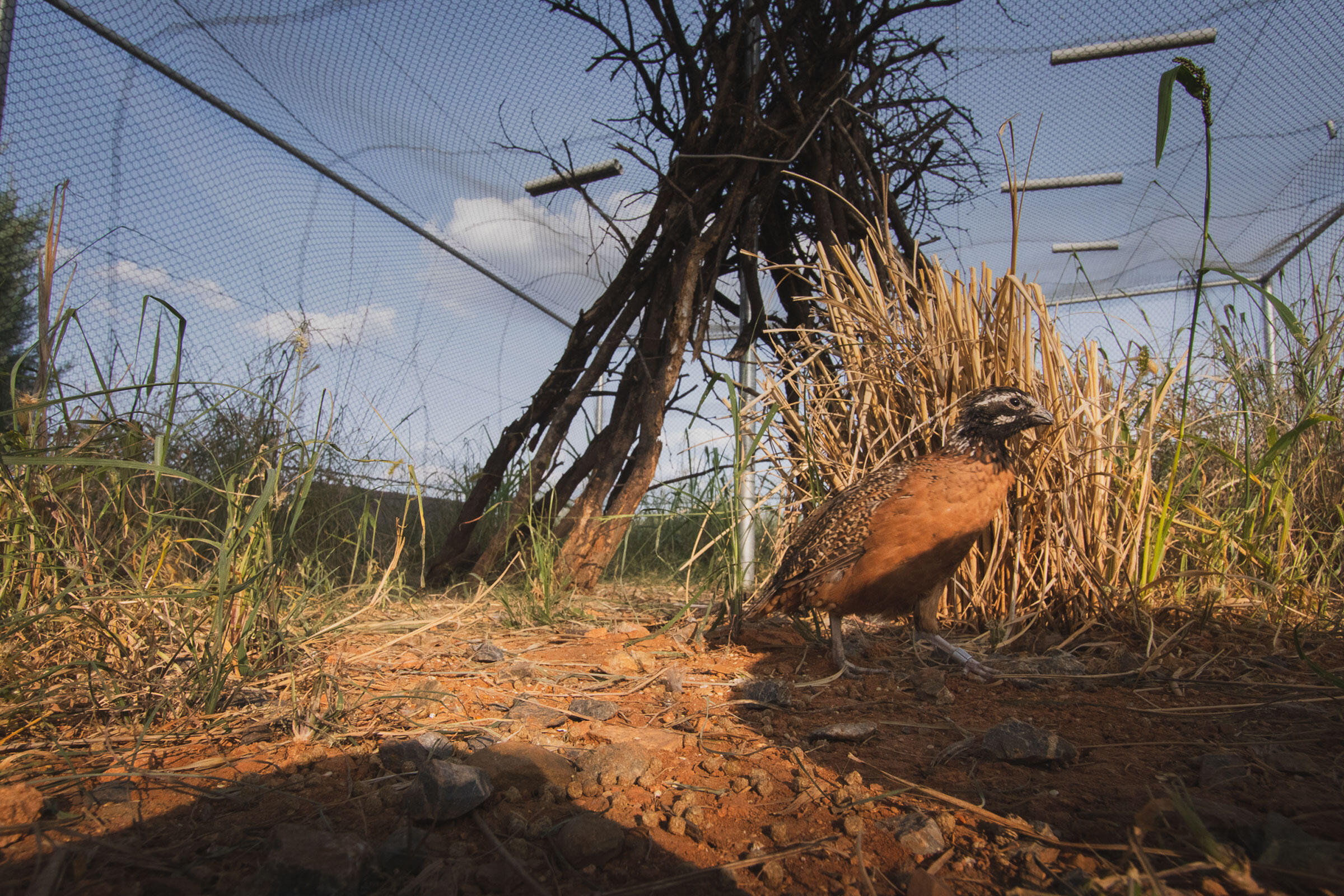 A Masked Bobwhite and soon to be a foster dad in its enclosure on the refuge. Morgan Heim