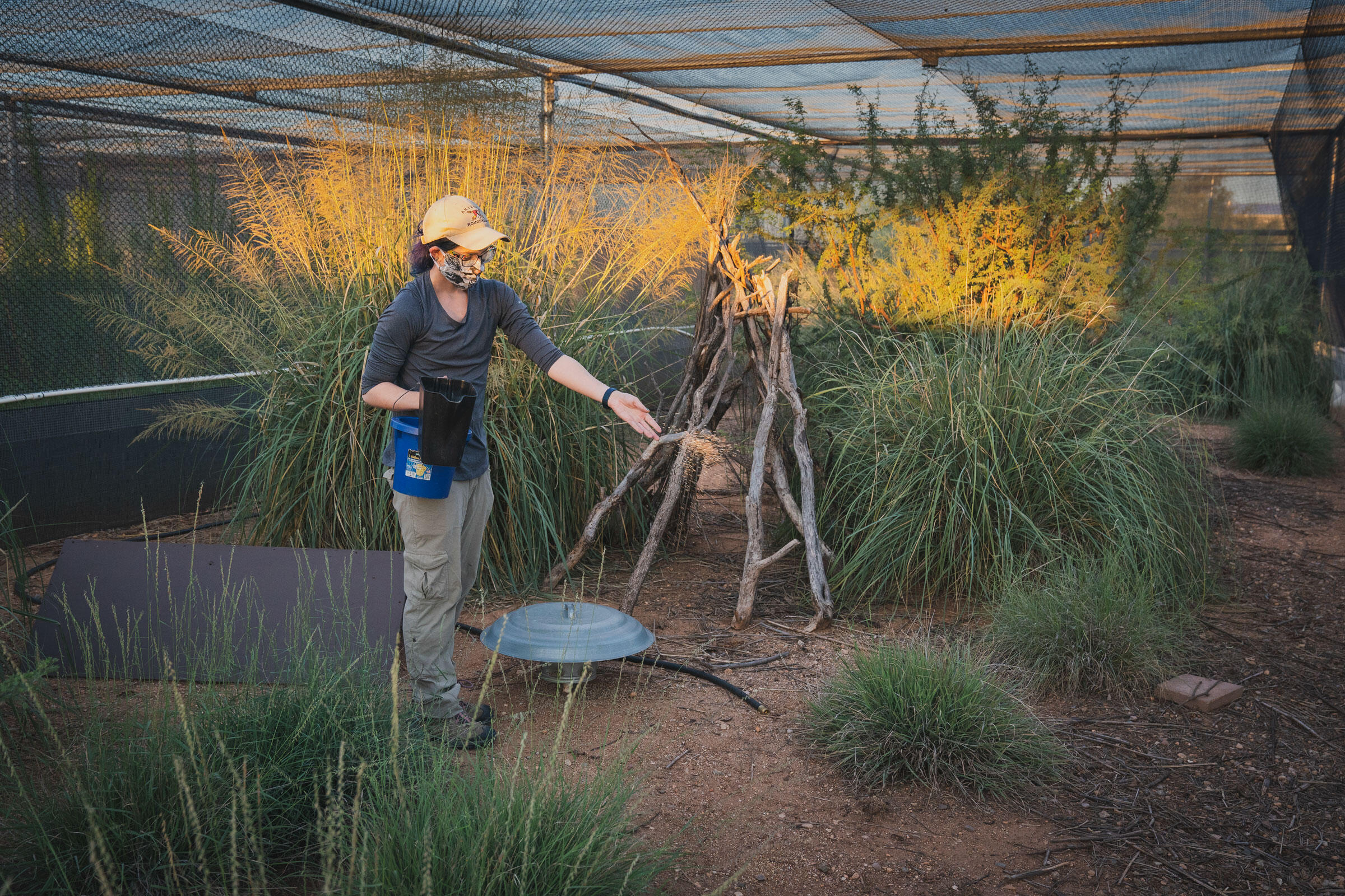 Alexandra Anderson, a quail technician with Tucson Audubon Society, does the morning rounds in the holding pens. Morgan Heim
