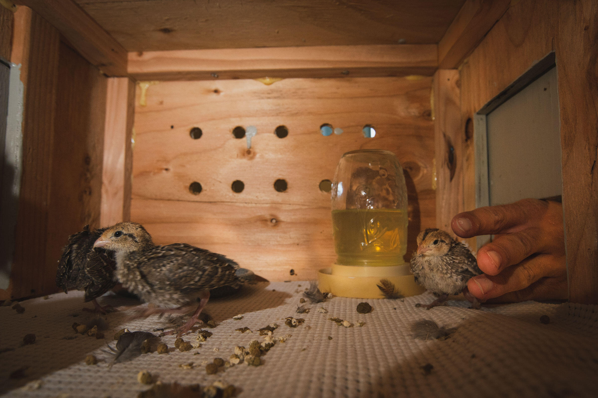 Masked Bobwhite chicks, having just arrived by plane from Oklahoma a few hours before, are placed into their brood box. Morgan Heim