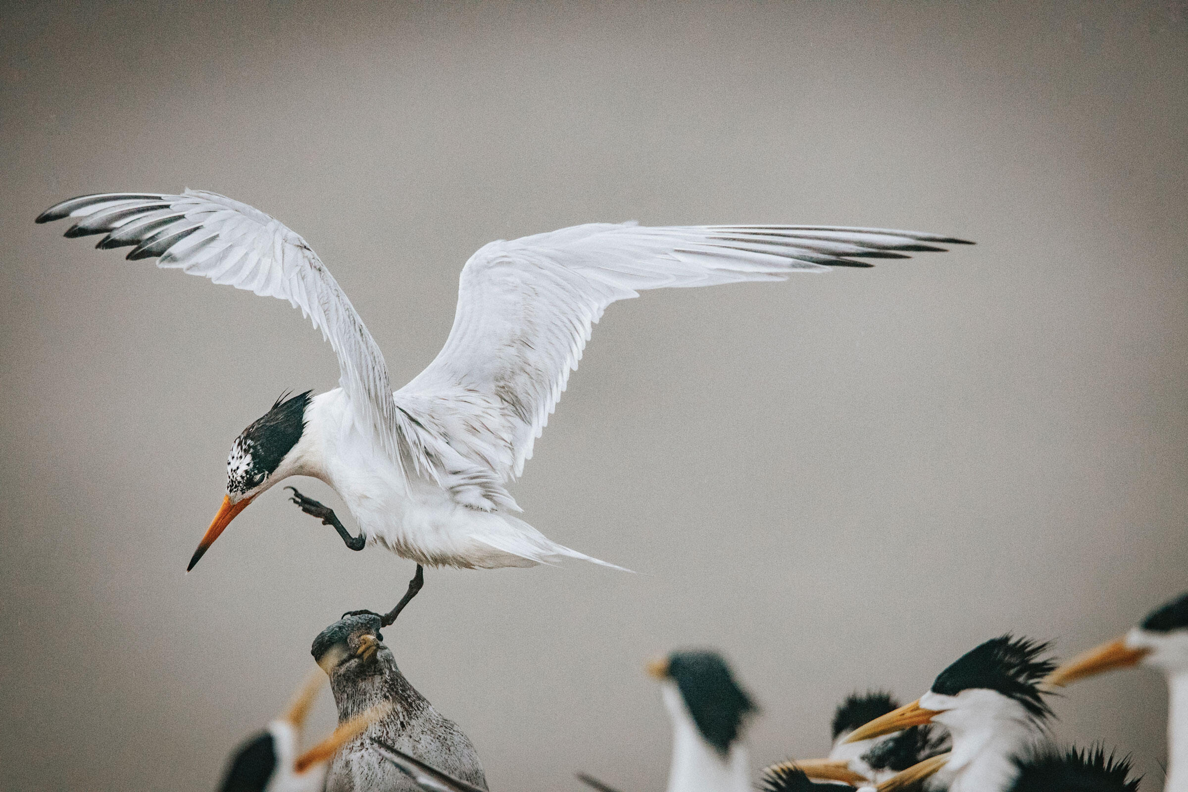 A Chinese Crested Tern perches atop a decoy. The faux birds are just one of the tools scientists used to successfully attract the highly social birds to new breeding sites. Morgan Heim