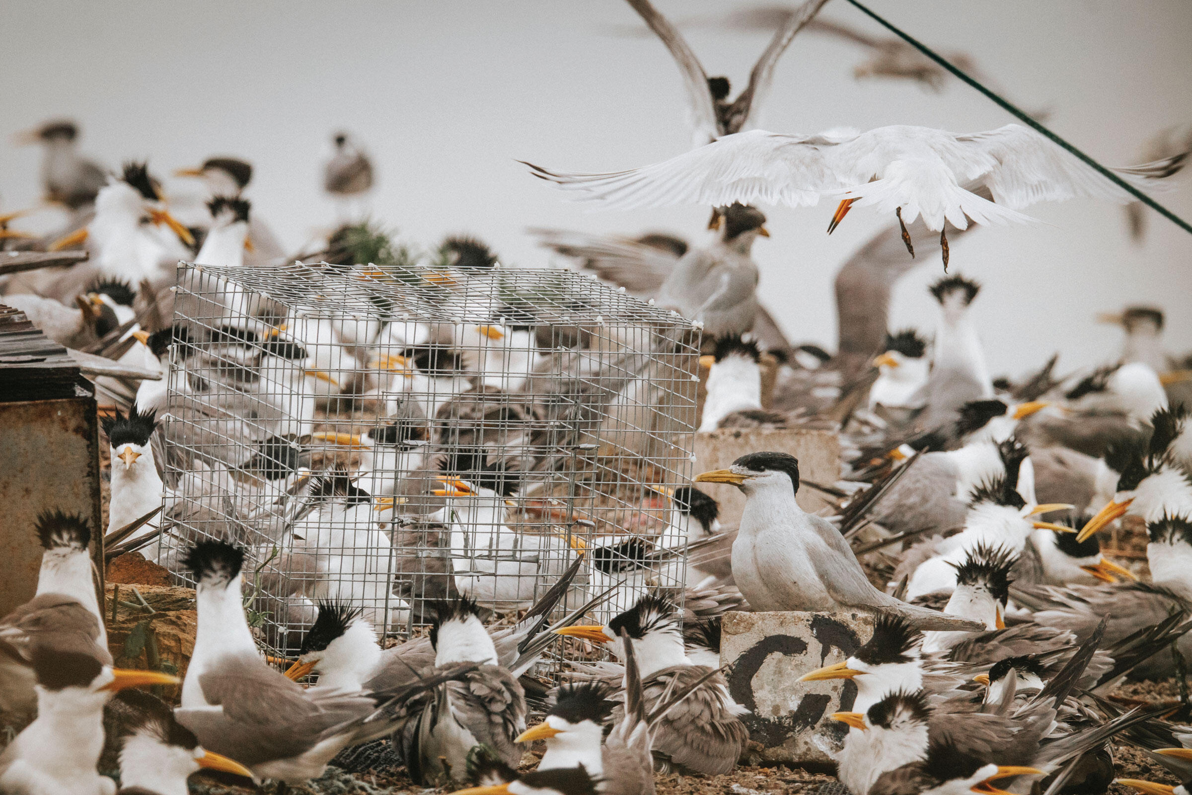 A Chinese Crested Tern swoops in for a landing, despite the cage that researchers placed over its nest in attempt to catch it and attach a satellite tag. Morgan Heim
