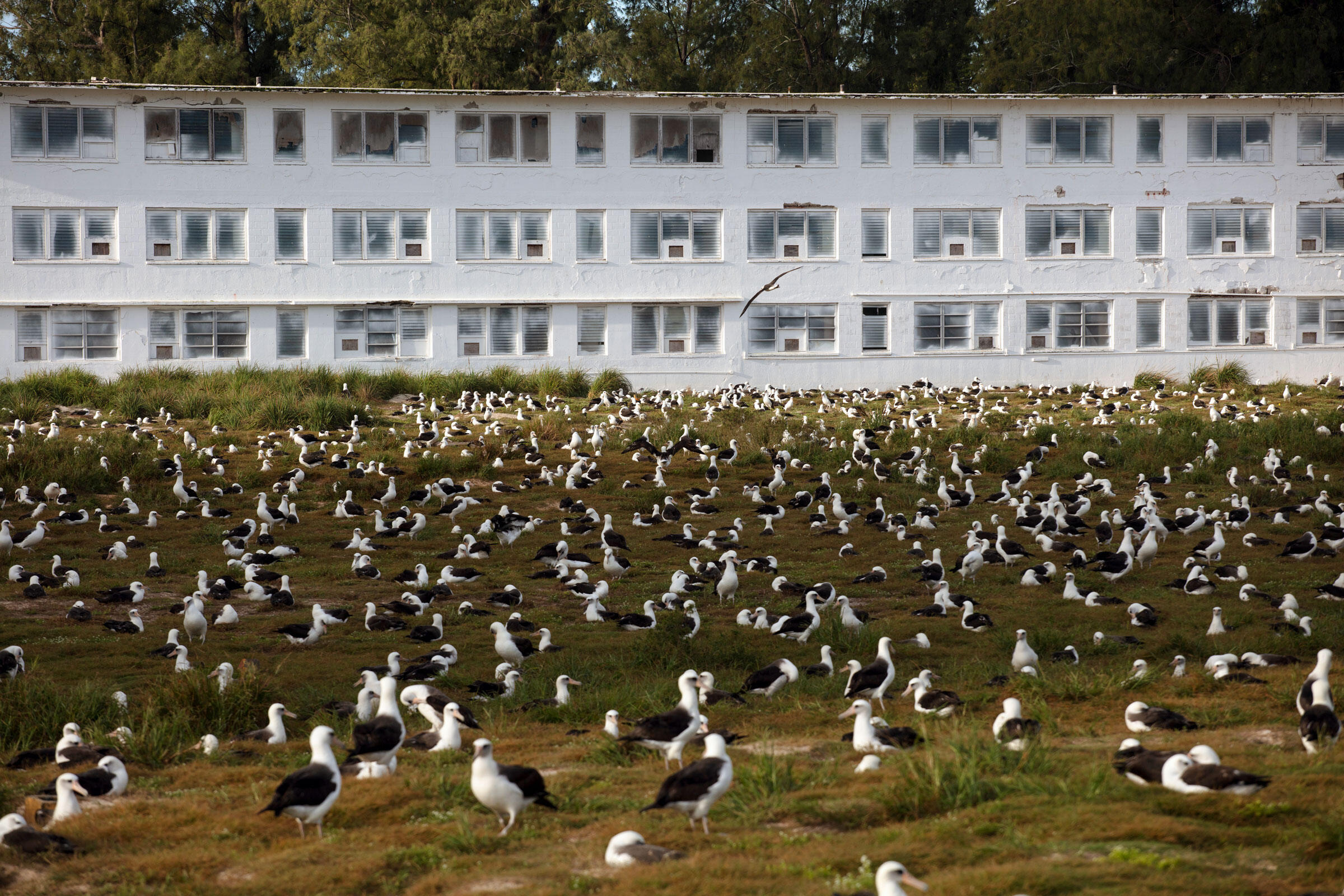 Breeding pairs of Laysan and Black-footed Albatrosses dominate the green space in front of an old Navy barracks on Midway. Jon Brack/USFWS
