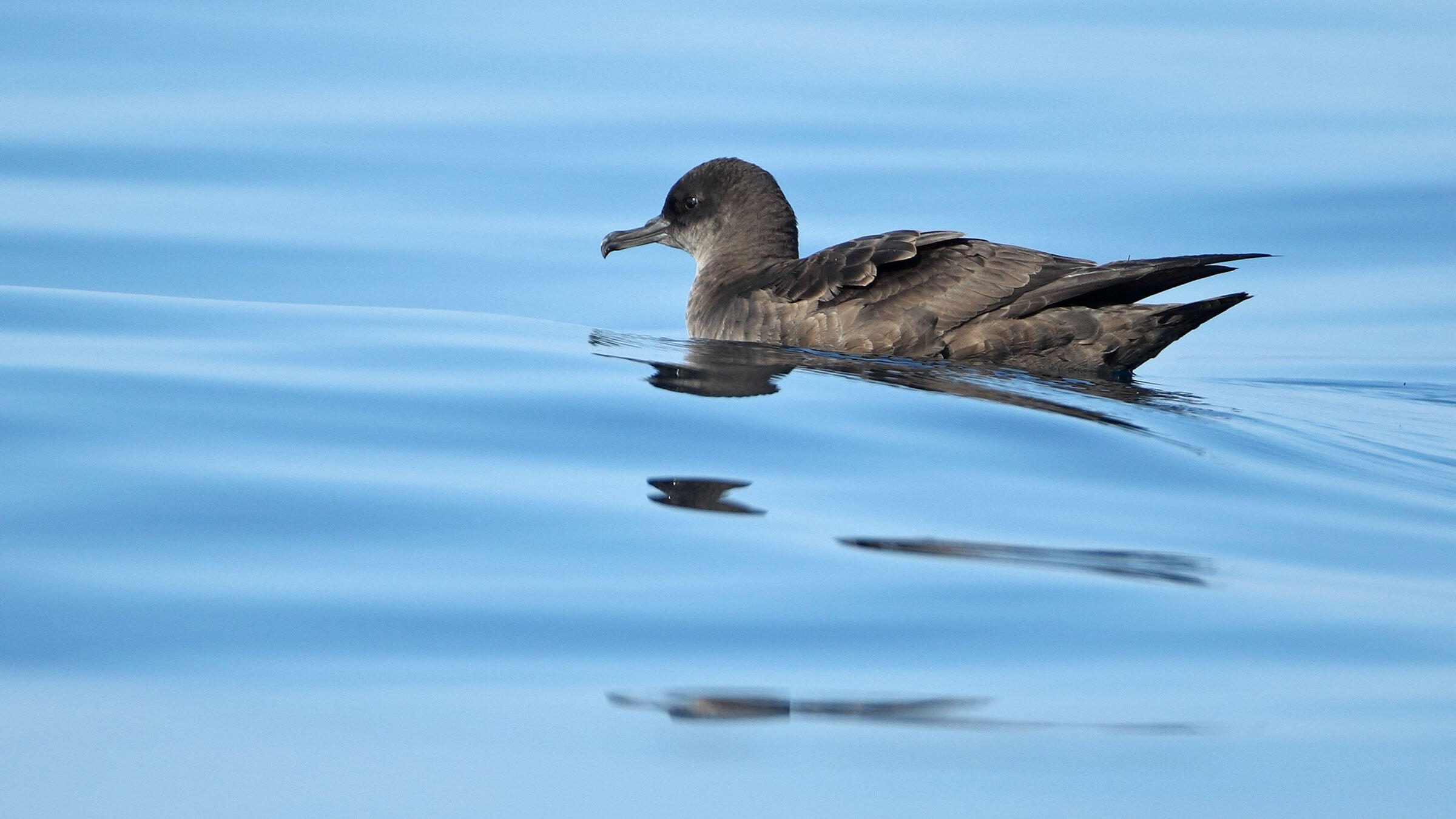 As ocean temperatures rise, plankton density has dropped—leading to less fishy food for Sooty Shearwaters in the California Current. Robin Chittenden/Minden Pictures