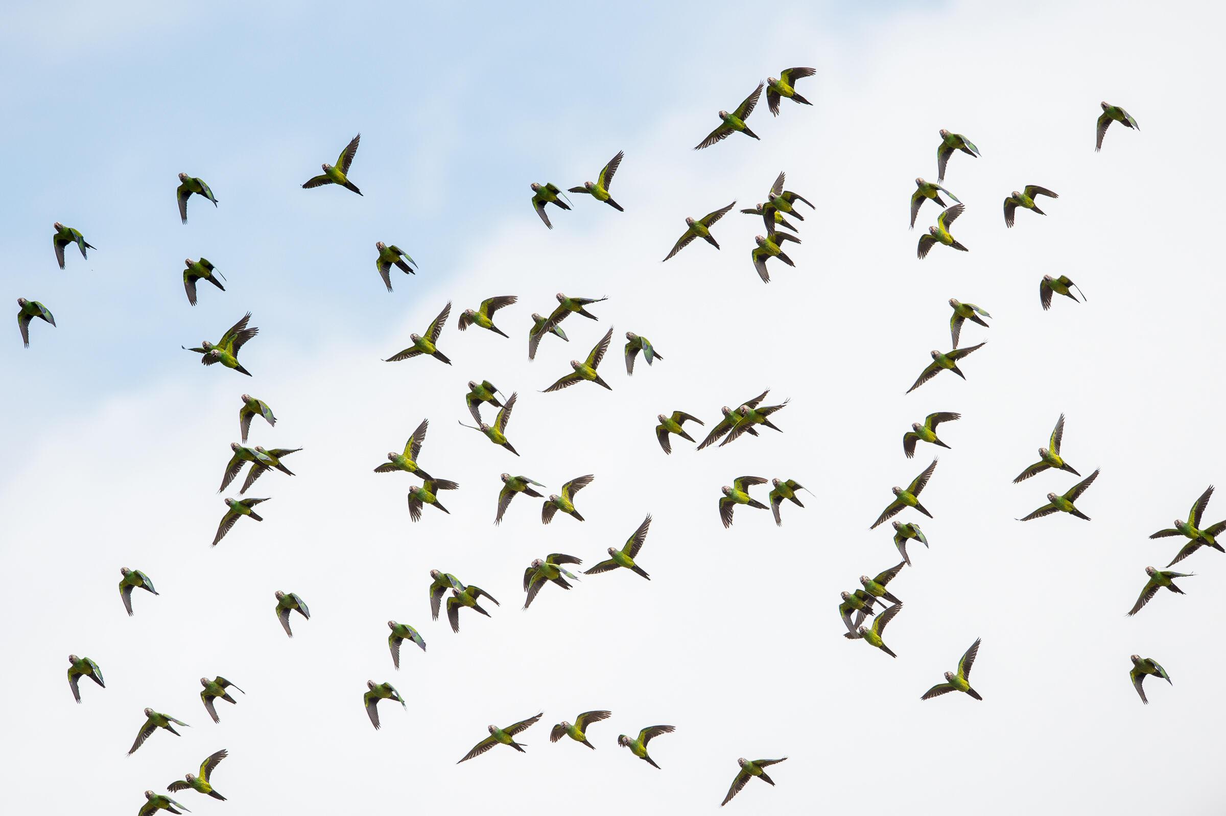 A flock of Dusky-headed Parakeet near the Tiputini River. Neil Ever Osborne