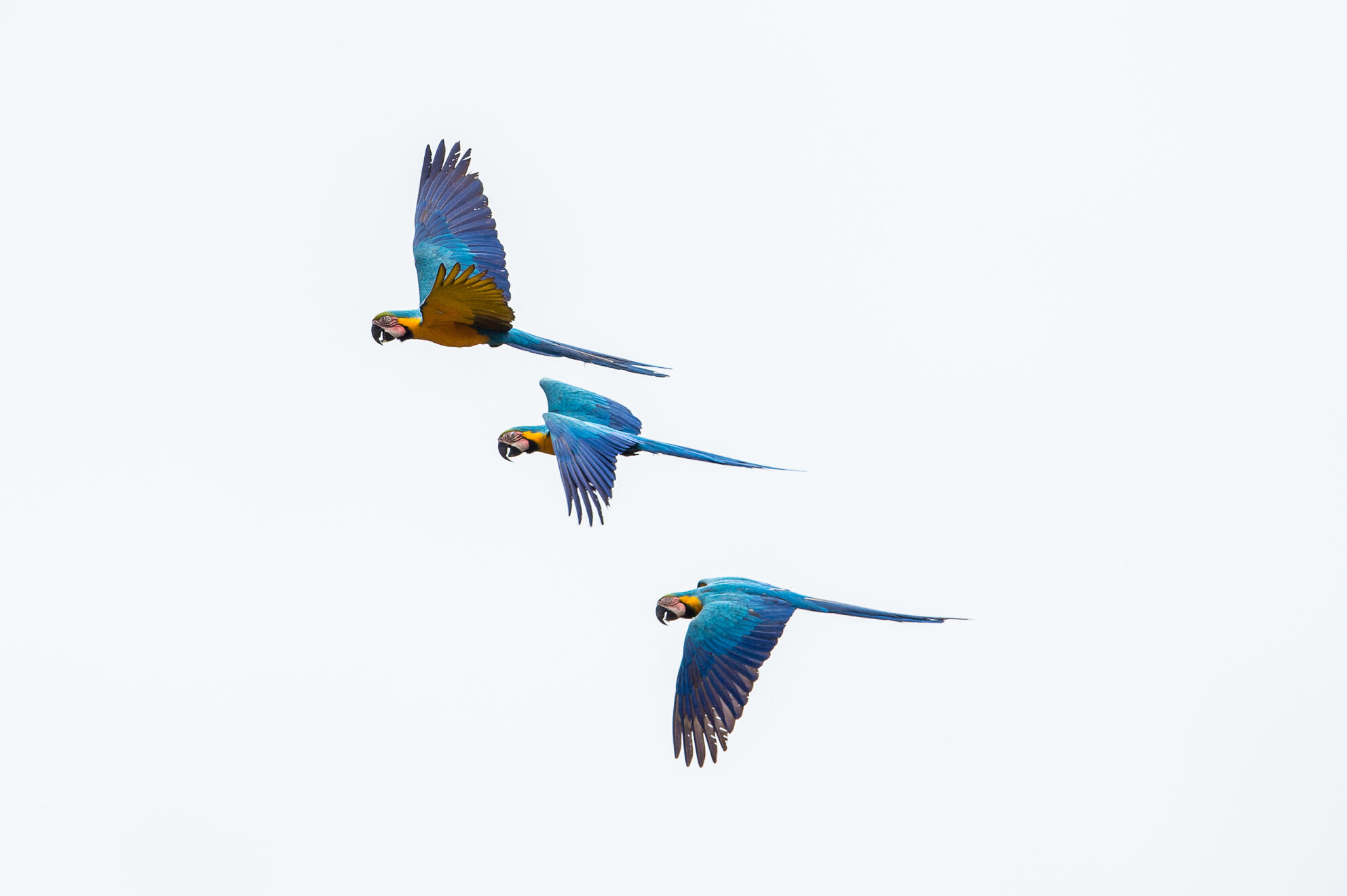 Blue-and-yellow Macaw Neil Ever Osborne