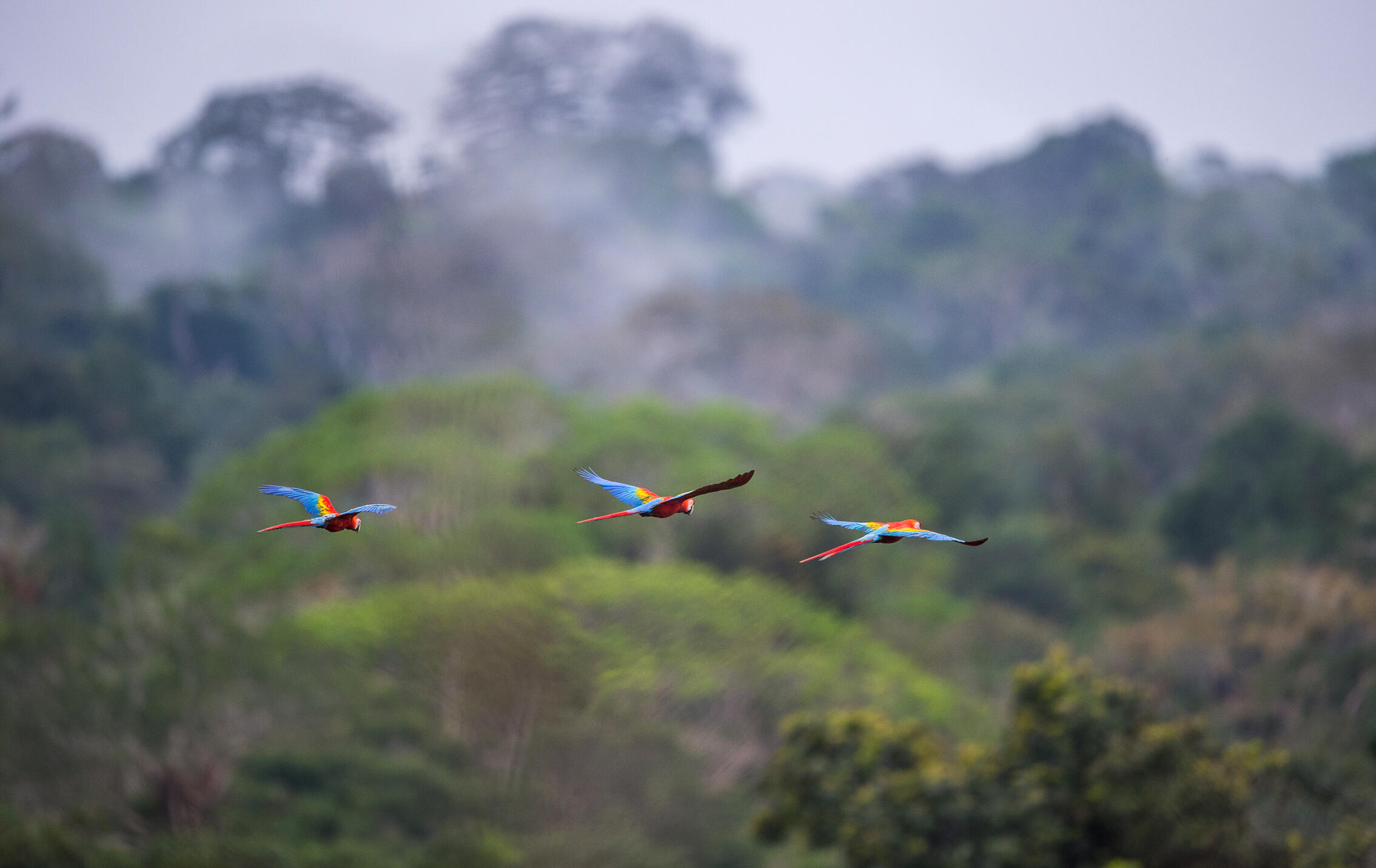 Scarlet Macaws rise over the jungle at the Tiputini Biodiversity Station. Neil Ever Osborne
