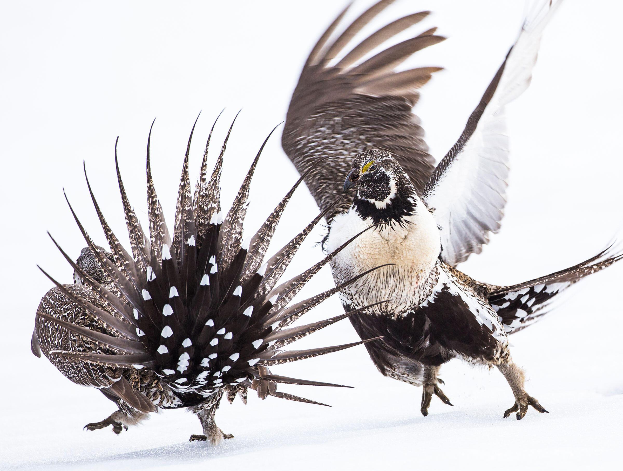 Greater Sage-Grouse. Elizabeth Boehm/Audubon Photography Awards