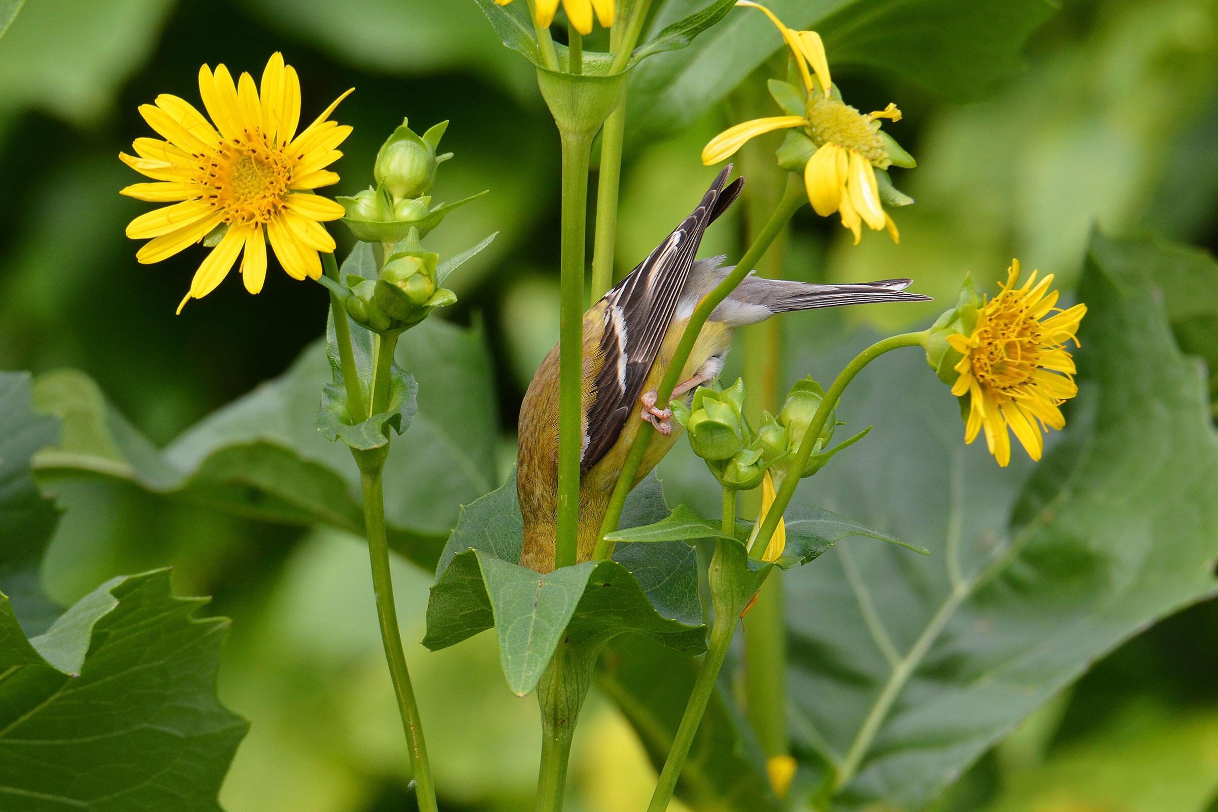American Goldfinch. Travis Bonovsky/Audubon Photography Awards