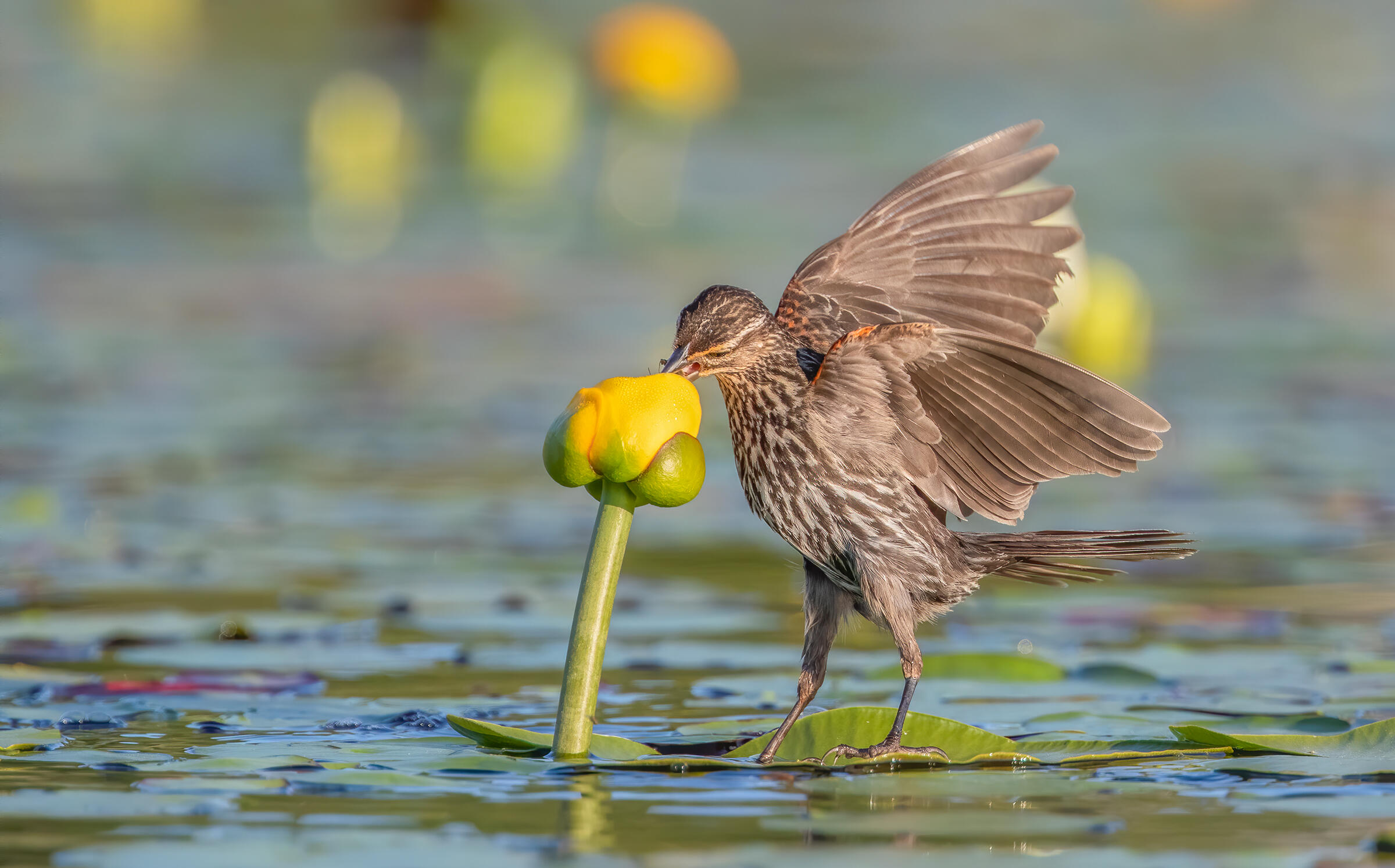 Beak deep in a partially opened, yellow flower emerging from the water, a gray female Red-winged Blackbird stands balancing on a lily pad, her wings partially outstretched, revealing the touch of red on her shoulders. More yellow flowers color the background.