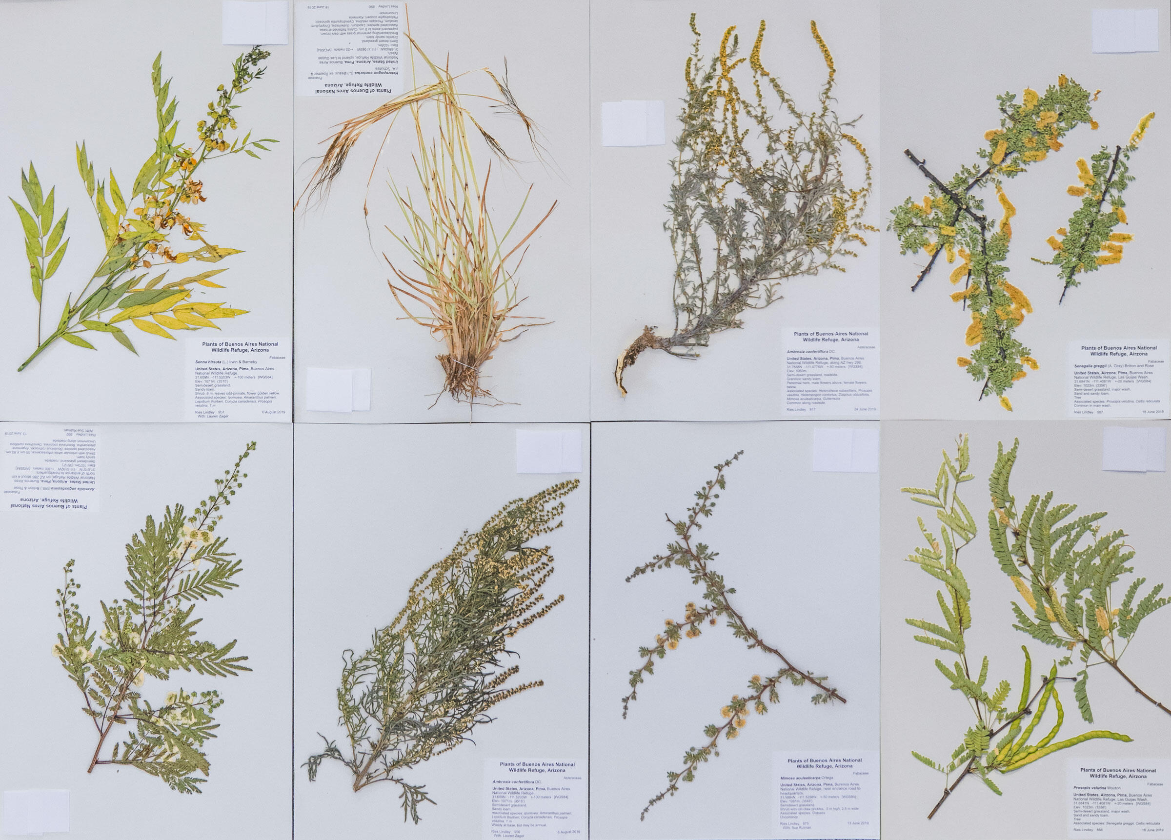 A diverse grassland is essential for Masked Bobwhite recovery. These pressings represent just a handful of the variety of plants important to the bird's survival. Morgan Heim