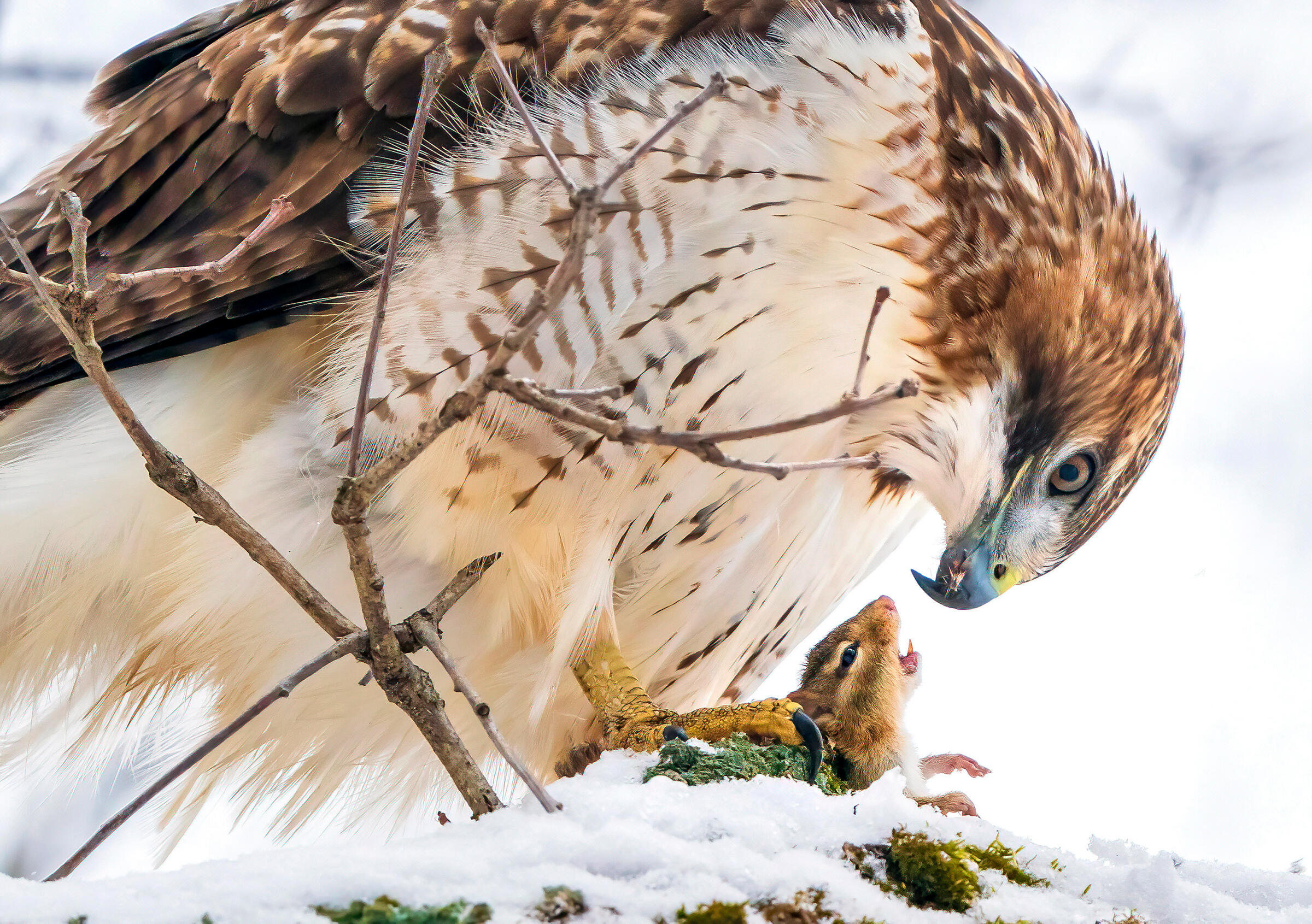 A Red-tailed Hawk holds an open-mouthed chipmunk in its yellow talons, the rodent's head and front paws peeking out from a snowy perch. The raptor's head bends low as it looks at its chipmunk prey, a piece of fur in its blue, pointed bill.