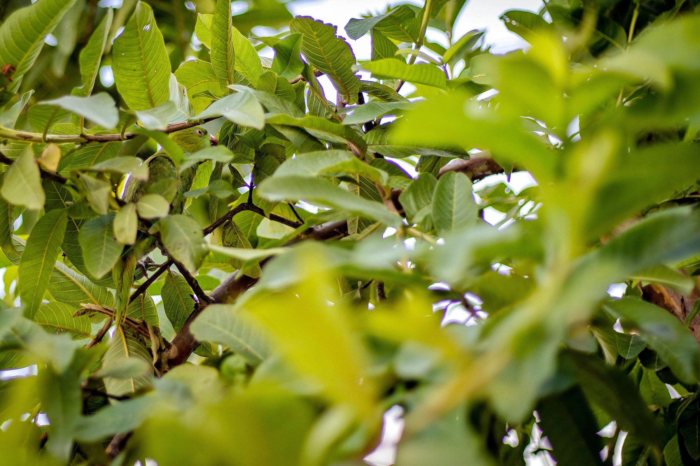 Rose-ringed Parakeet. Siraj Ahmad/Alamy