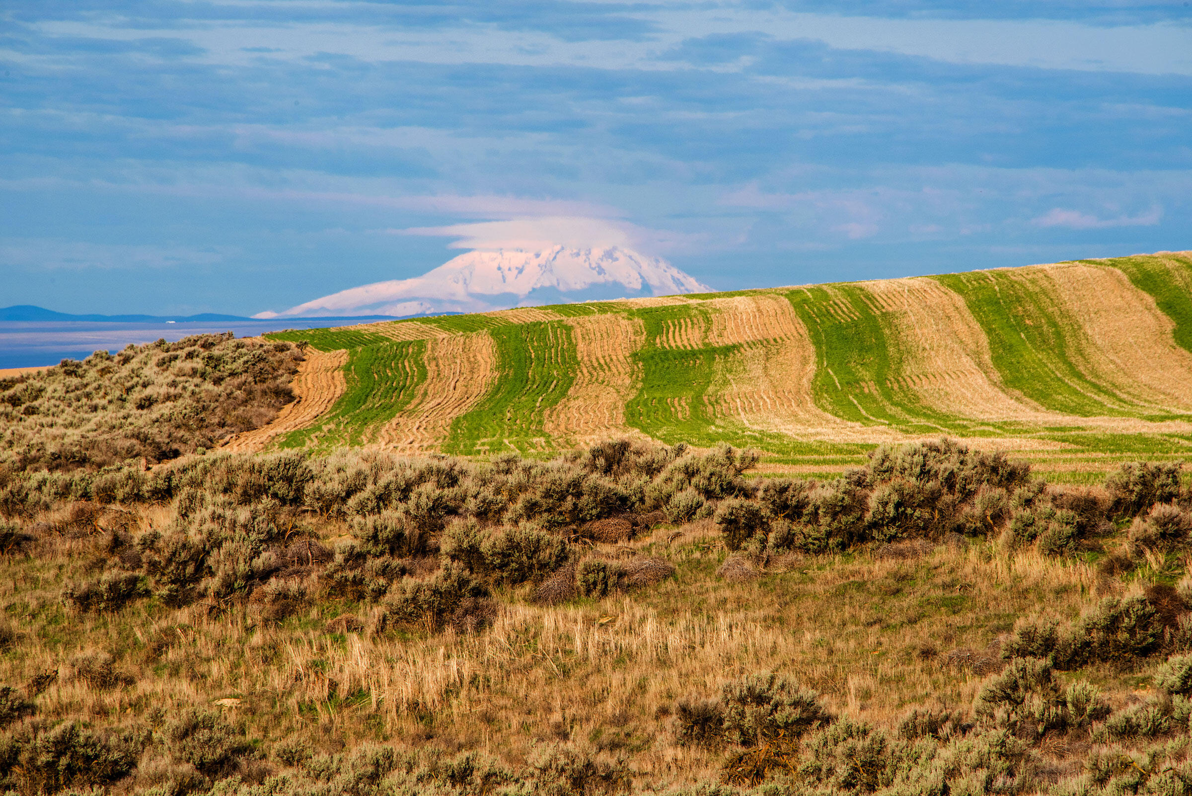 A small stand of sagebrush lines the wheat fields in front of Mount Adams. Row crop agriculture further fragments the once vast ecosystem. Dave Showalter