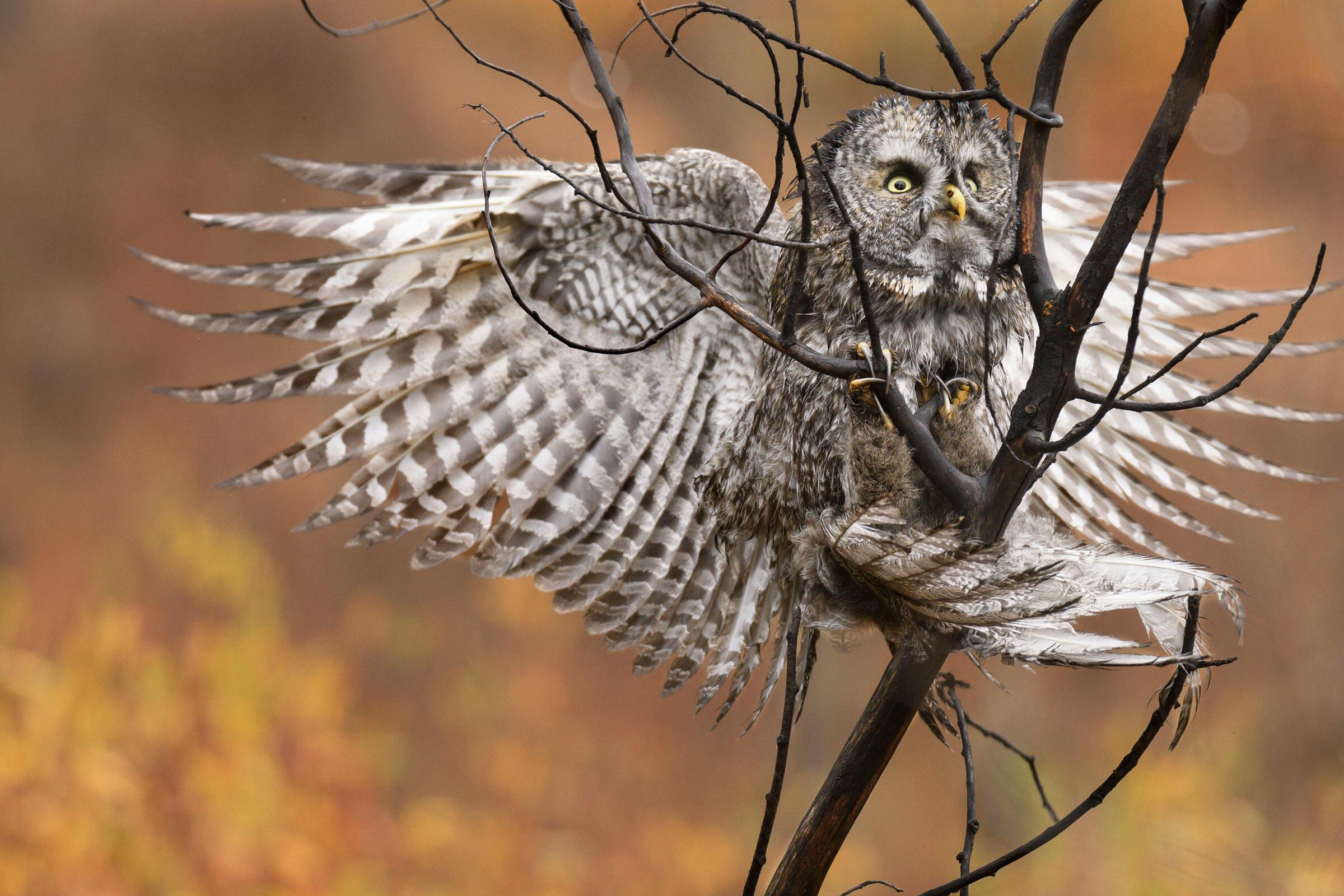 Great Gray Owl. Steve Mattheis/Audubon Photography Awards