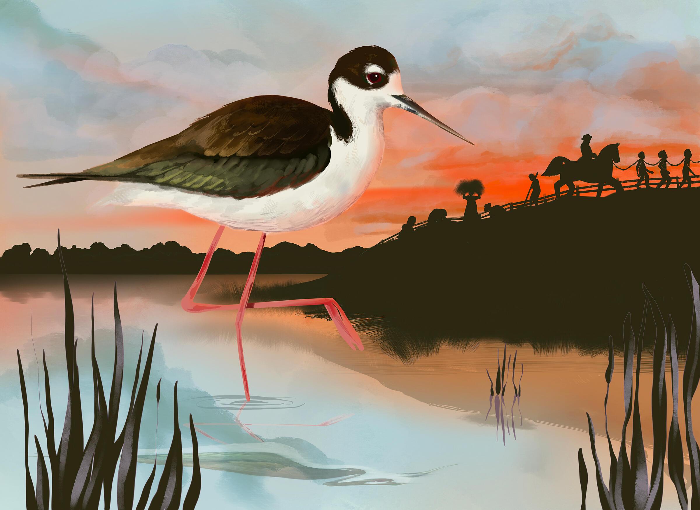 Black-necked Stilt. Illustration: Adrian Brandon