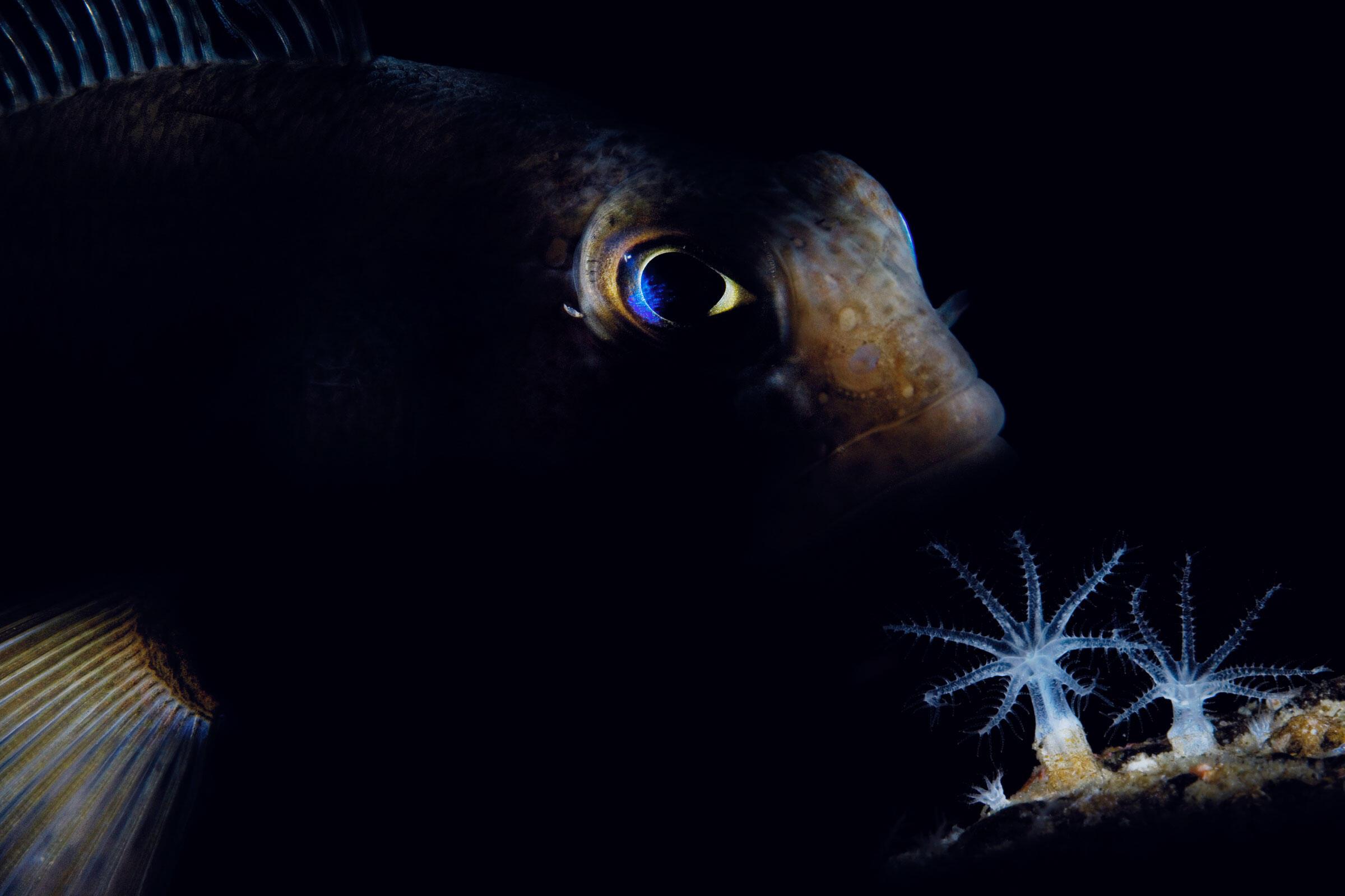 Trematomus bernacchii. Ross Sea, Antarctica. John Weller