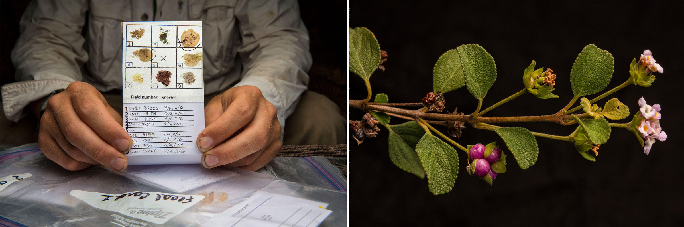 From left: Fecal samples provide a window into the species' diet and microbiome; wild sage provides fuel for the warblers on their wintering grounds. Photos: Karine Aigner