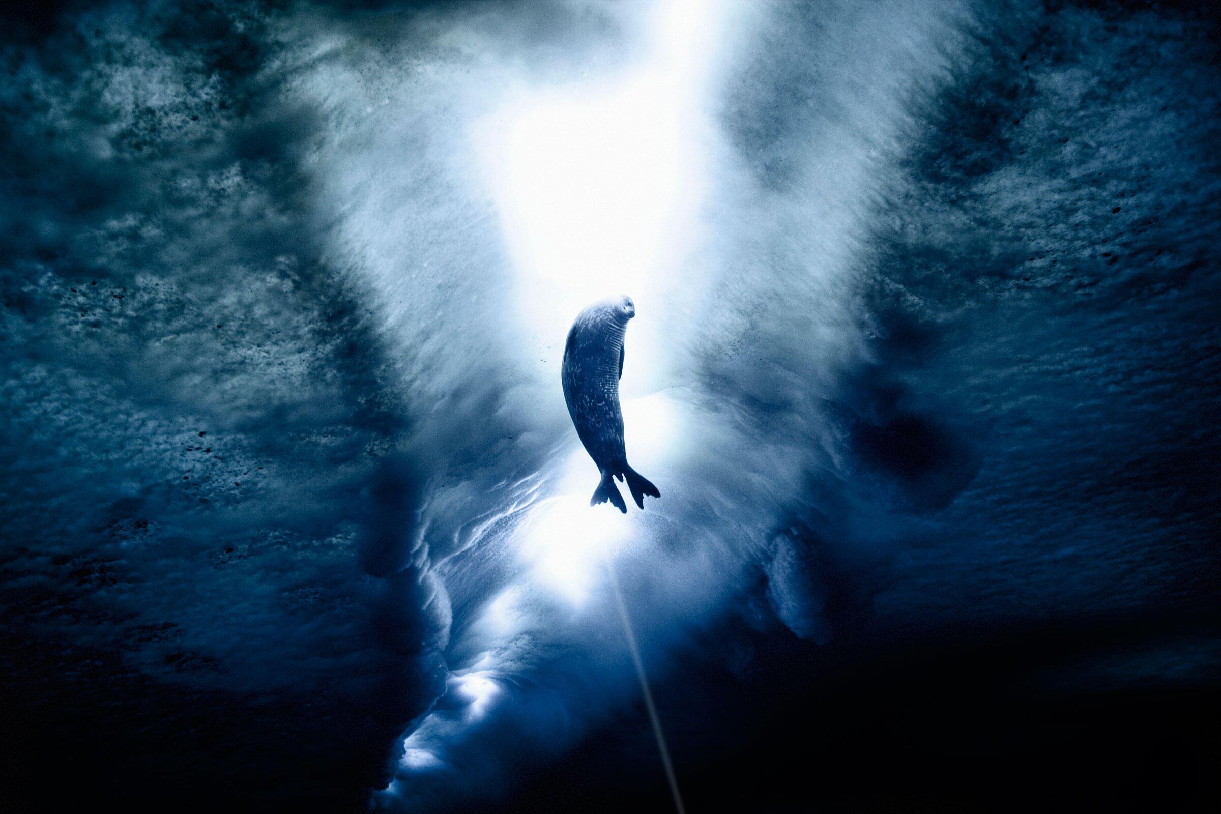 Weddell seal under the ice. Ross Sea, Antarctica. John Weller