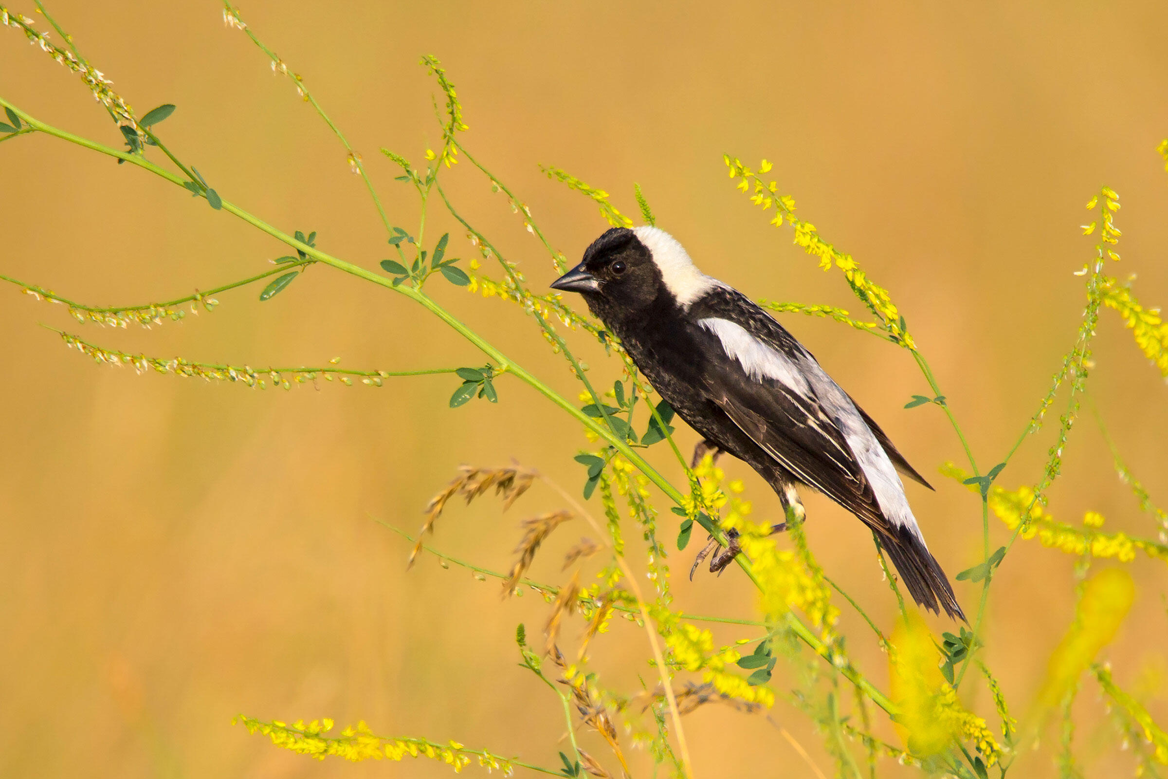 Bobolink. Photo: Garrett Sheets/Audubon Photography Awards