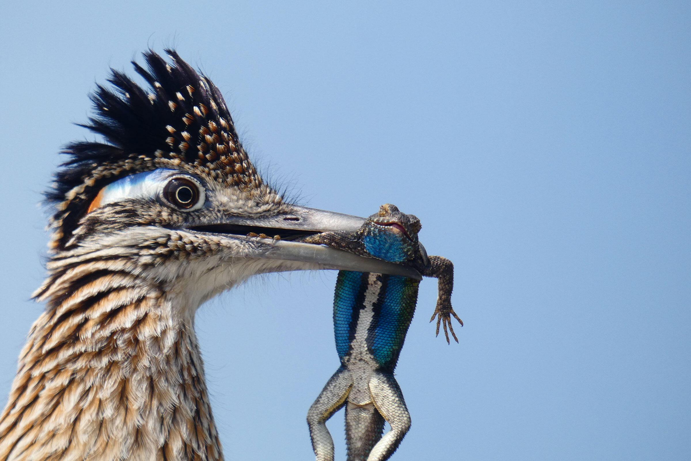 Greater Roadrunner. Christopher Smith/Audubon Photography Awards