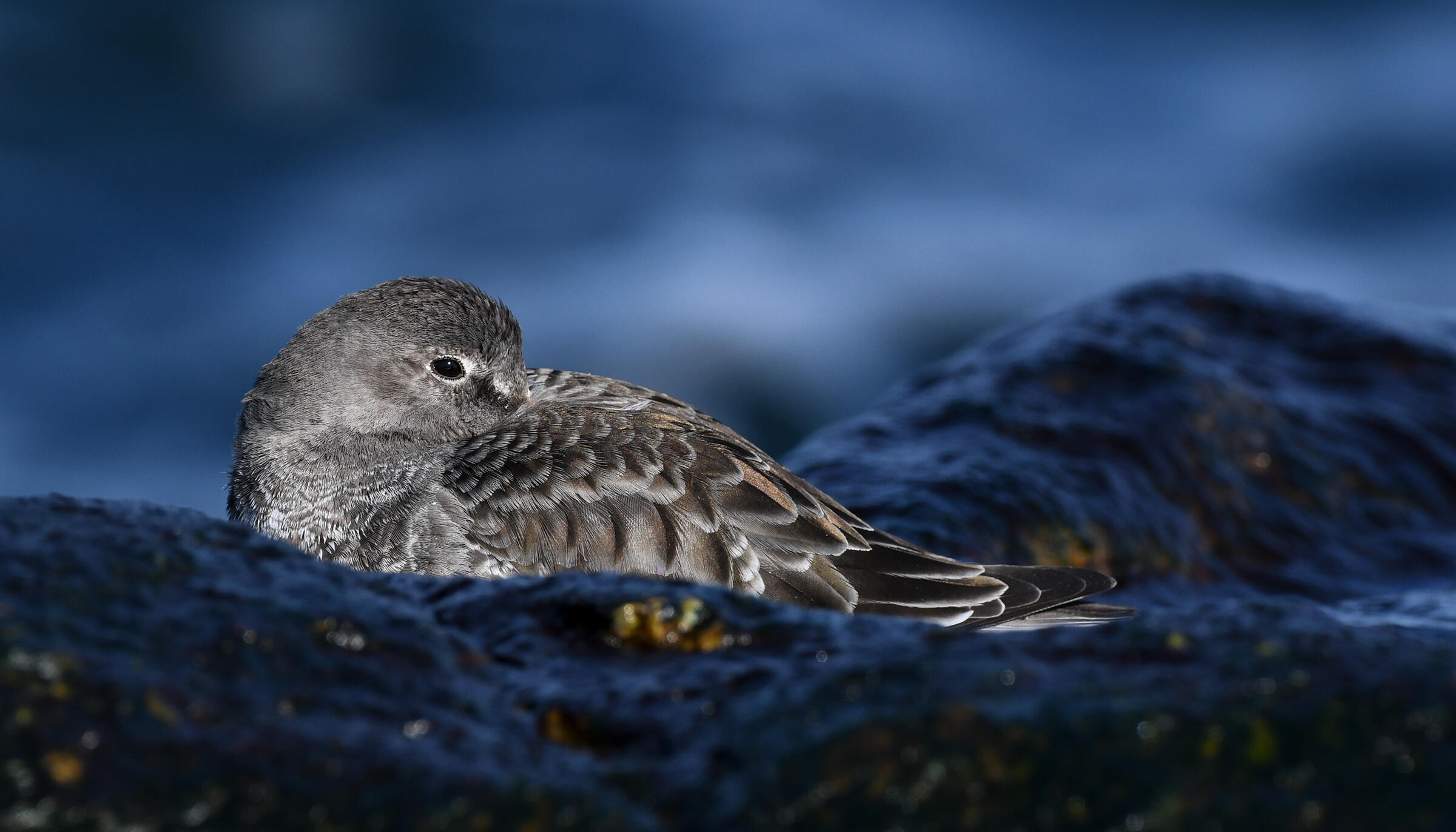 On a wet, rocky shore, a Purple Sandpiper sits with its beak tucked under its brown and gray wing, the blurred blue ocean waves in the background.