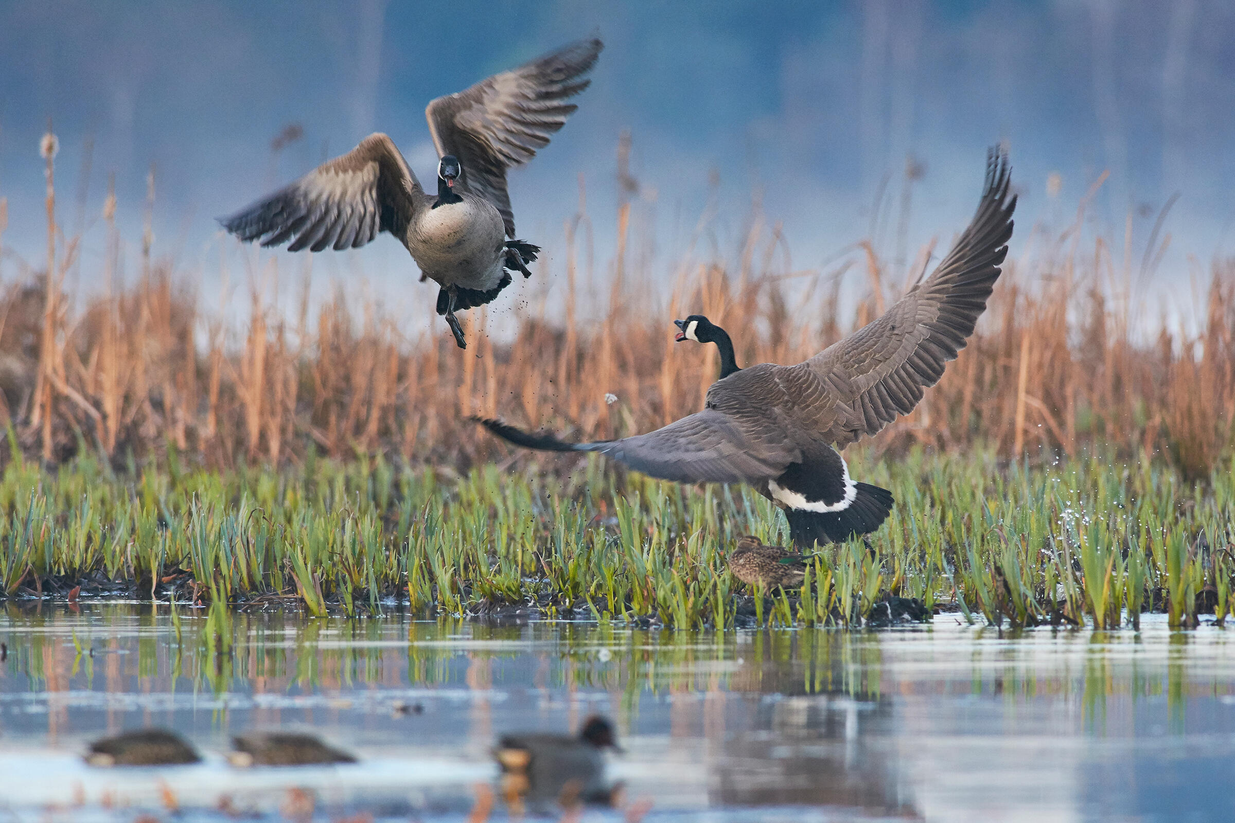 On a still wetland with green grasses and brown reeds in the background, a Canada Goose flies up from the water, its wings outstretched and beak agape as another Canada Goose, wings bent at 90-degree angles, honks back. Several Green-winged Teal watch the scene from the water below.