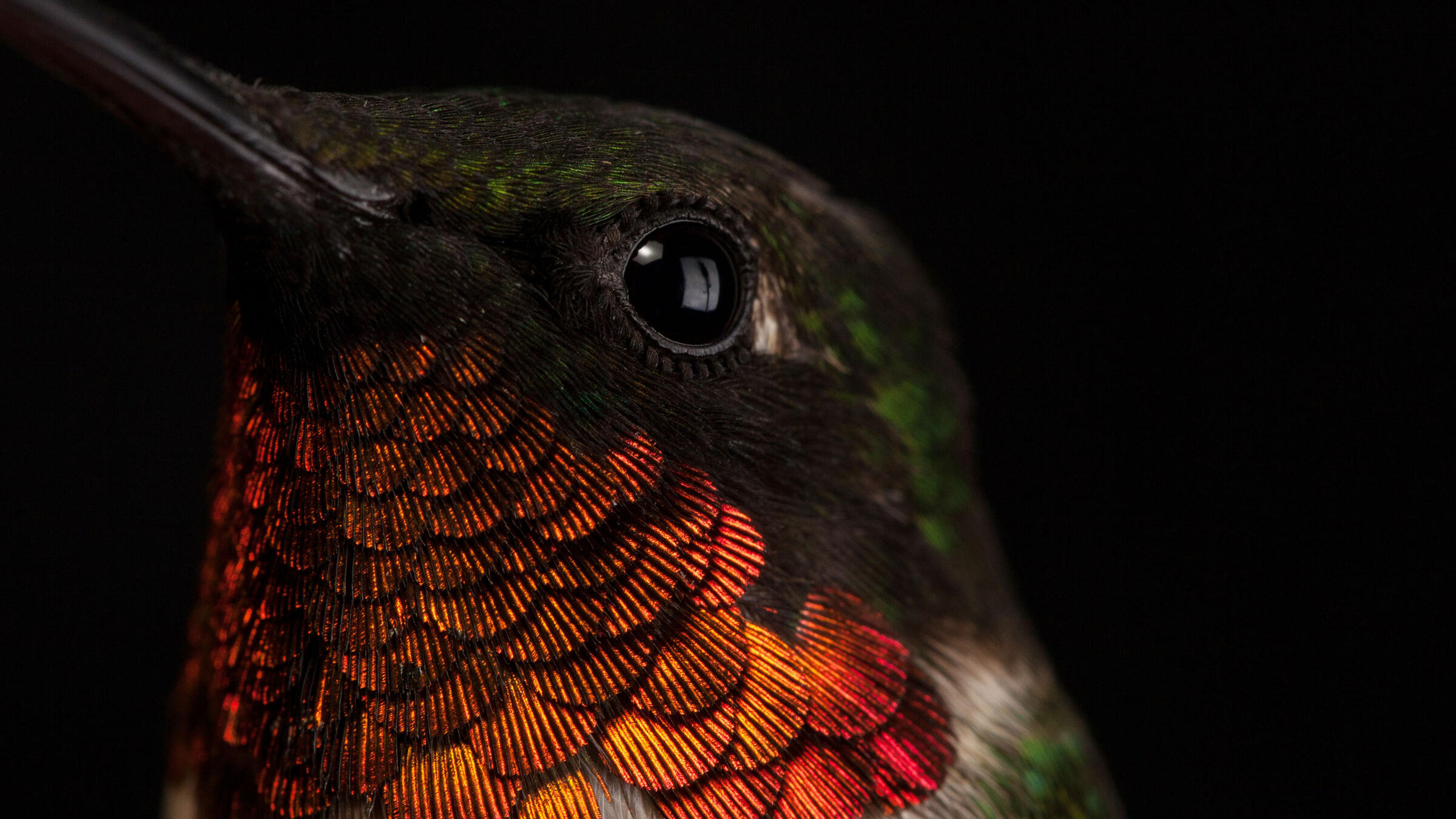 Ruby-throated Hummingbird. Sean Graesser