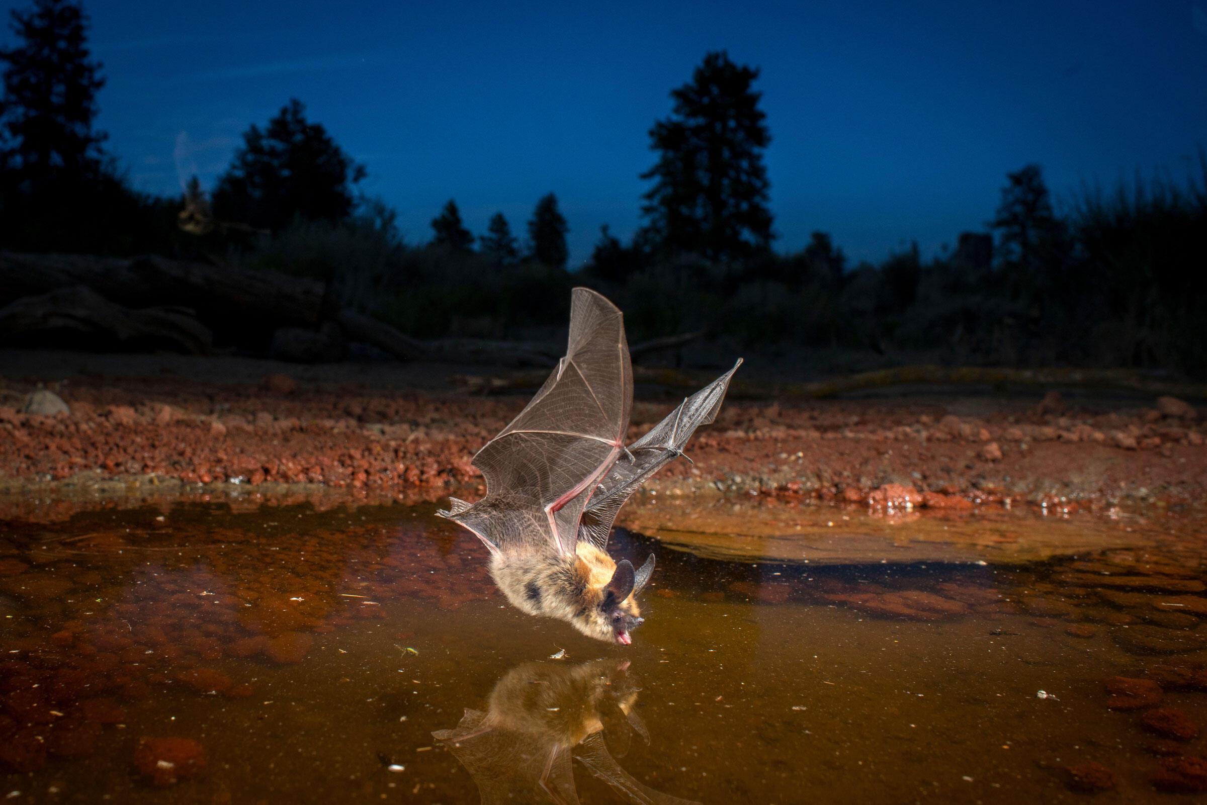 "At dusk, a long-eared myotis bat skims the pool. <a href=""http://www.durmphoto.com/index"">Michael Durham</a>"