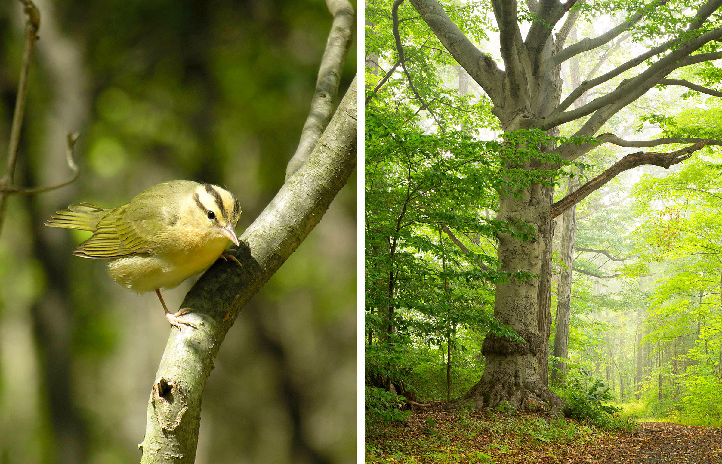 From left: Worm-eating Warbler. Photo: Frode Jacobsen; American beech. Photo: age fotostock/Alamy