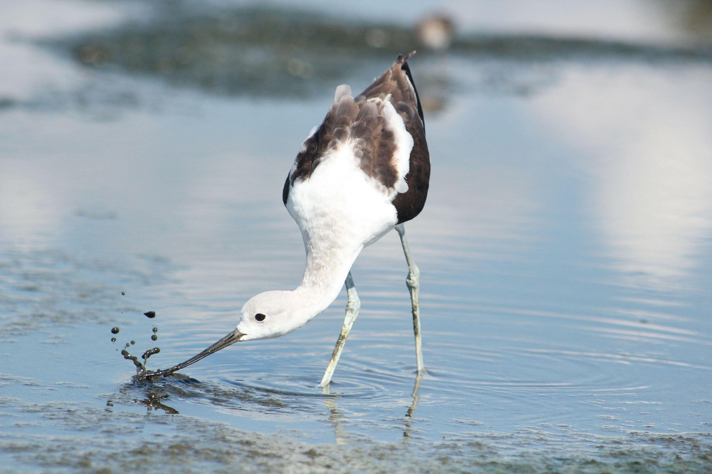 American Avocet. Will Hilscher/Audubon Photography Awards