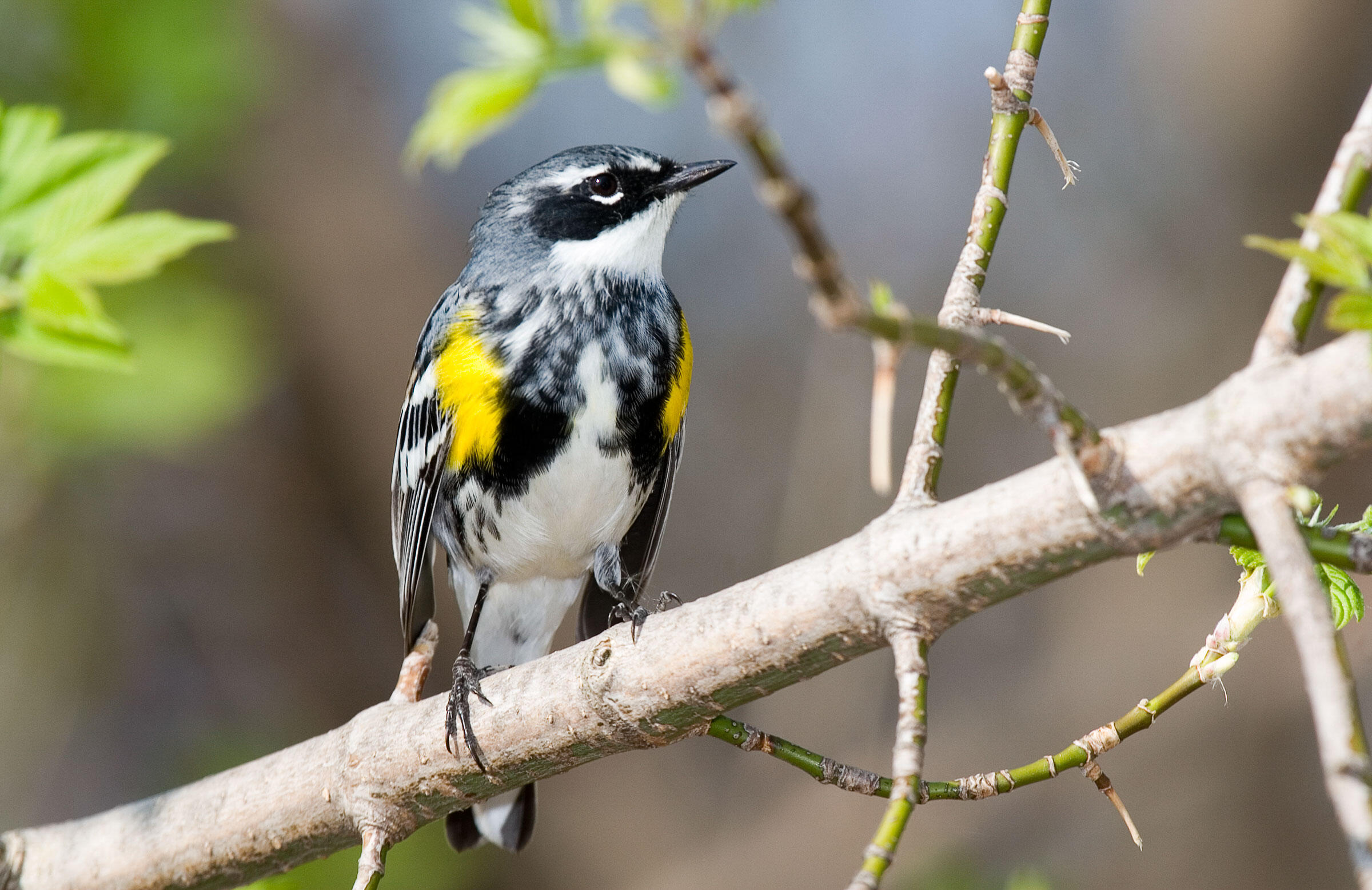 Most parulids winter deep in the tropics, and the timing of their northward migration is dictated by instinct. Yellow-rumped Warblers, however, may be more flexible because they mainly winter in the southern United States. Kenn Kaufman