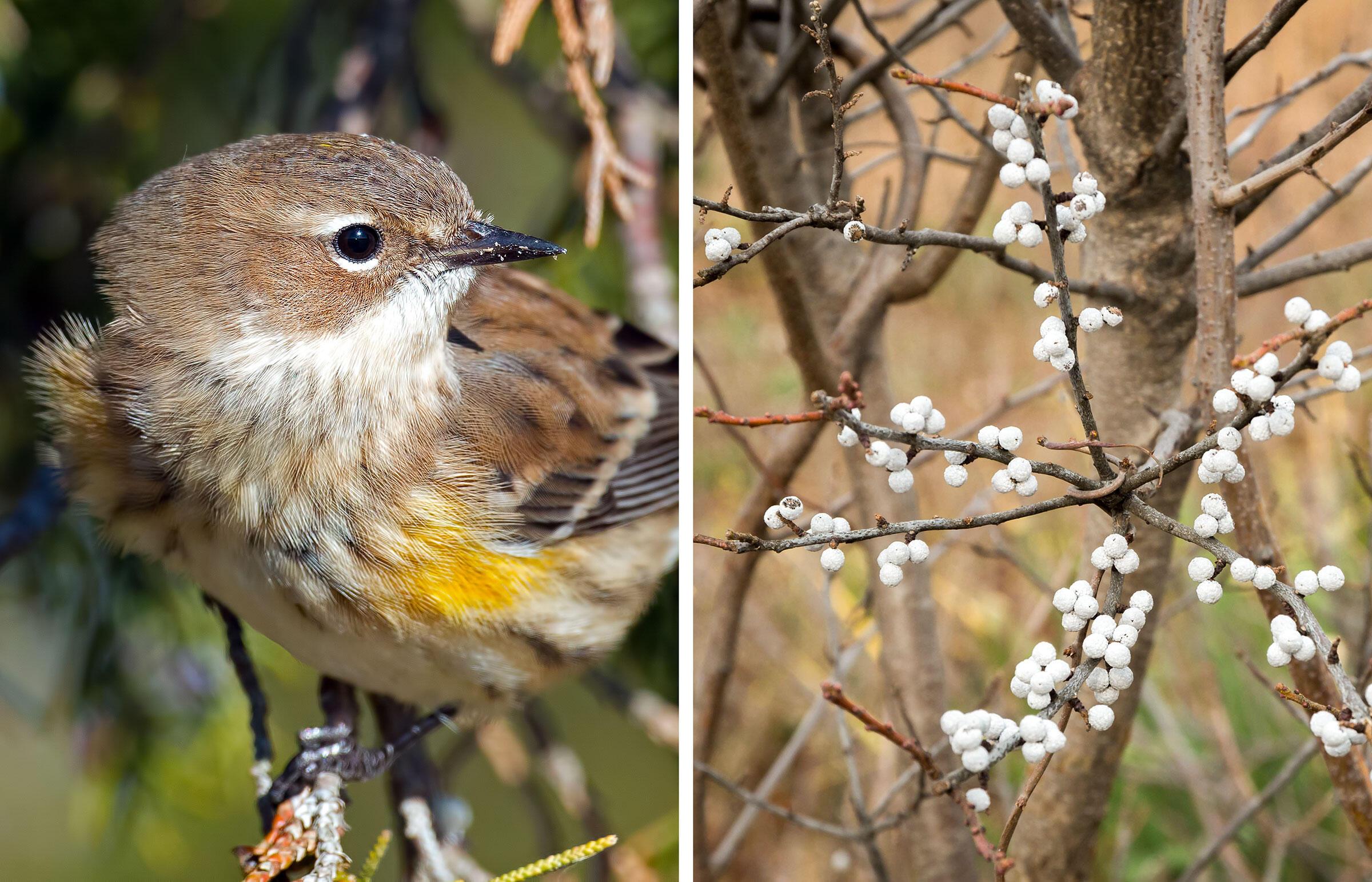 From left: Yellow-rumped Warbler. Photo: Brian Kushner; Bayberry. Photo: Elizabeth Wake/Alamy