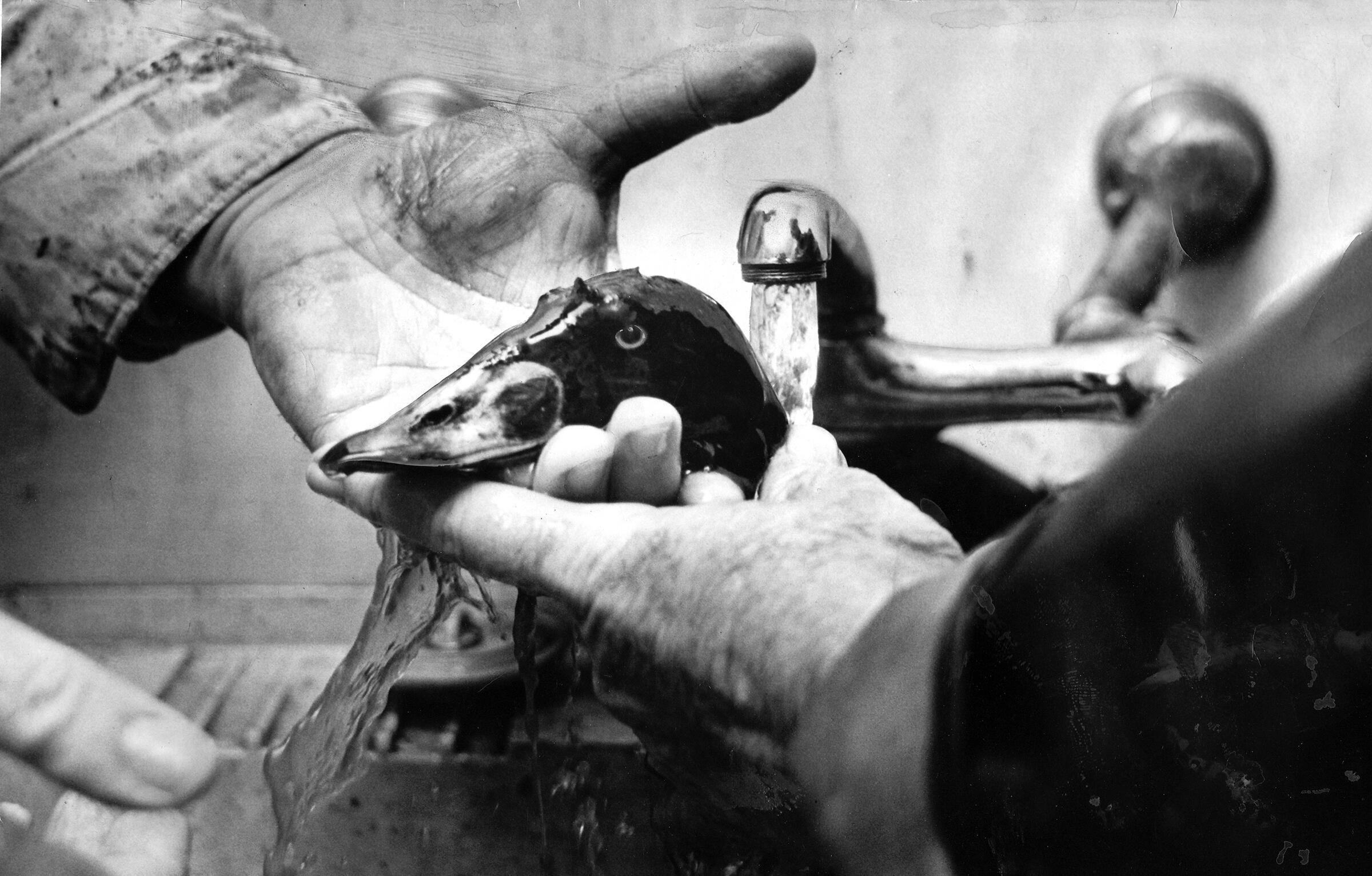 An oil-soaked Surf Scoter gets a washing after the 1969 spill. The spill was the largest to date in the U.S., and many modern cleanup methods were still unknown. © 2015 Los Angeles Times. Used with Permission.