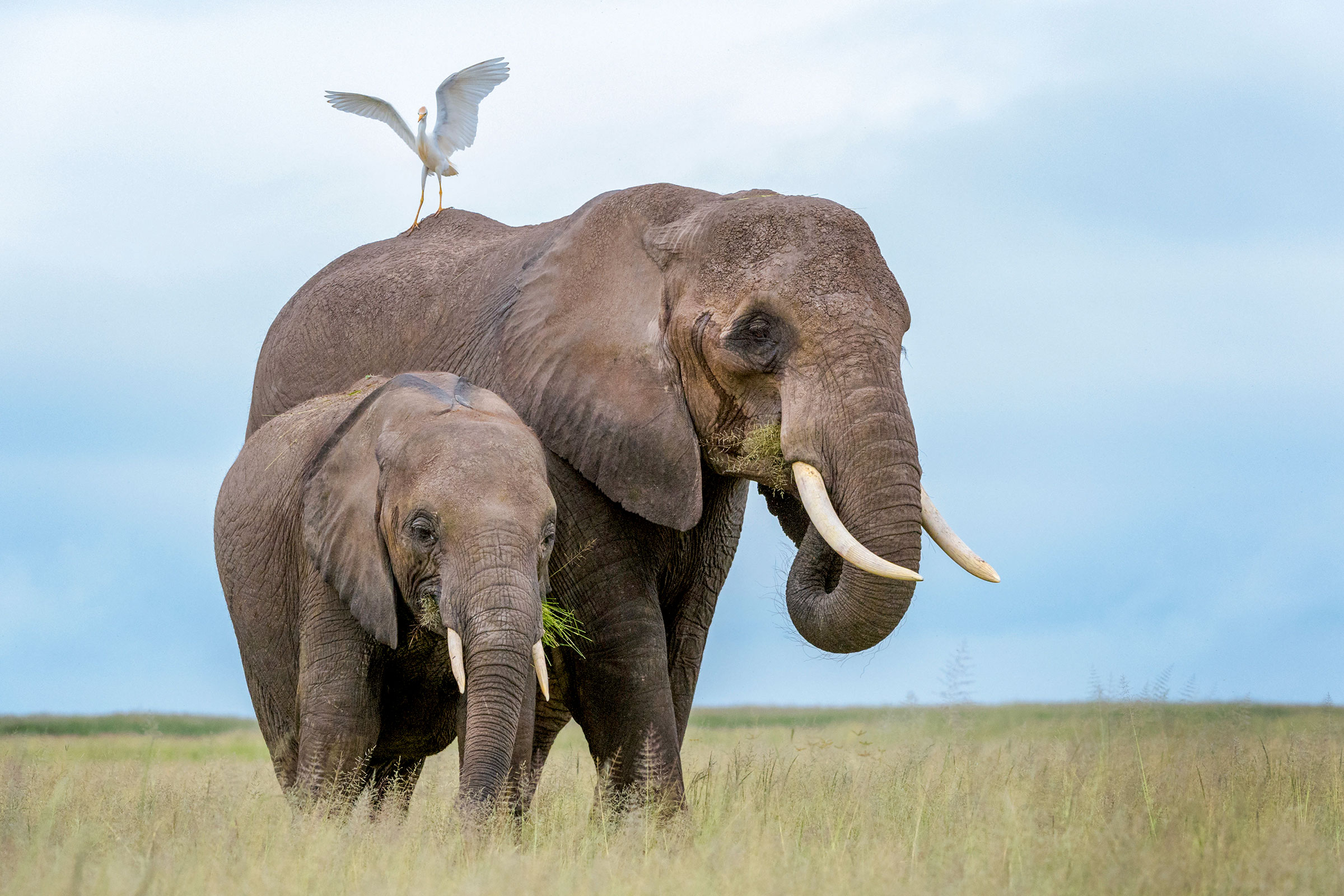 Cattle Egret and African Bush Elephants.Photo:André Gilden/Alamy