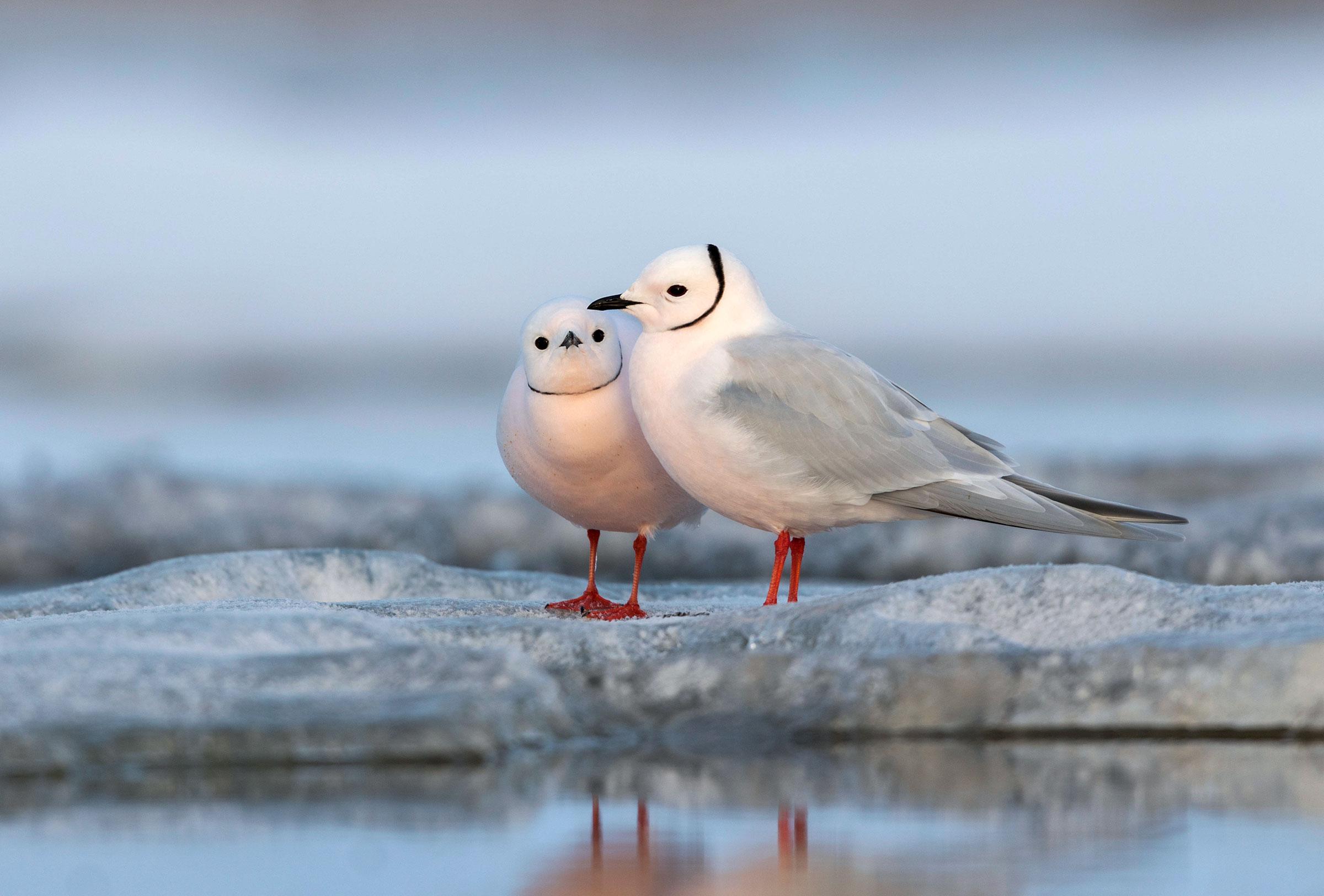 Ross's Gulls in Barrow. Agami/Alamy