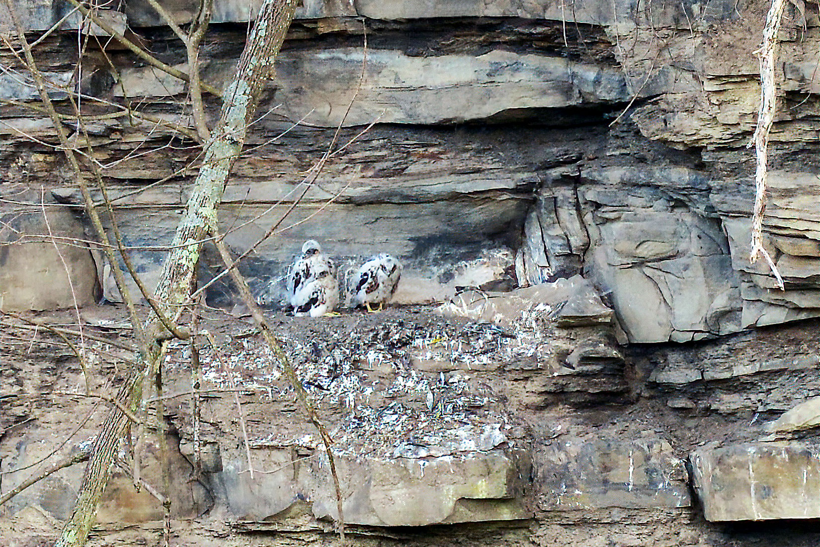 Three young Peregrine Falcons at Taughannock Gorge, May 2020. Tim Gallagher