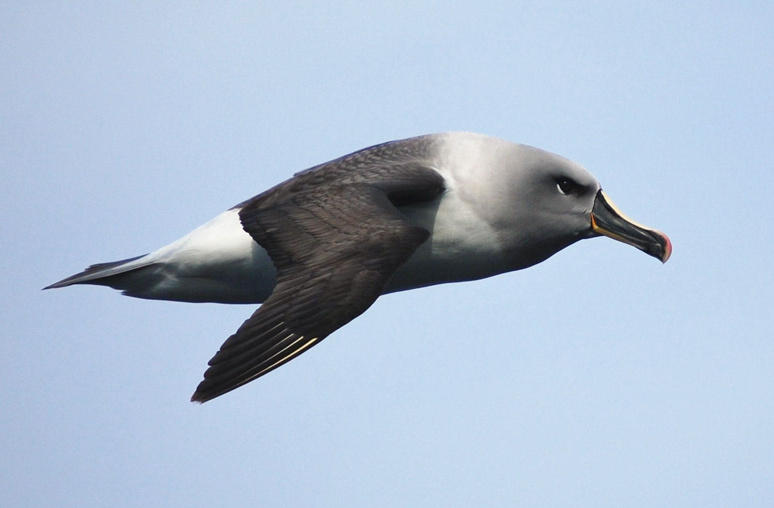 Grey-headed Albatross. Lieutenant Elizabeth Crapo/NOAA Corps