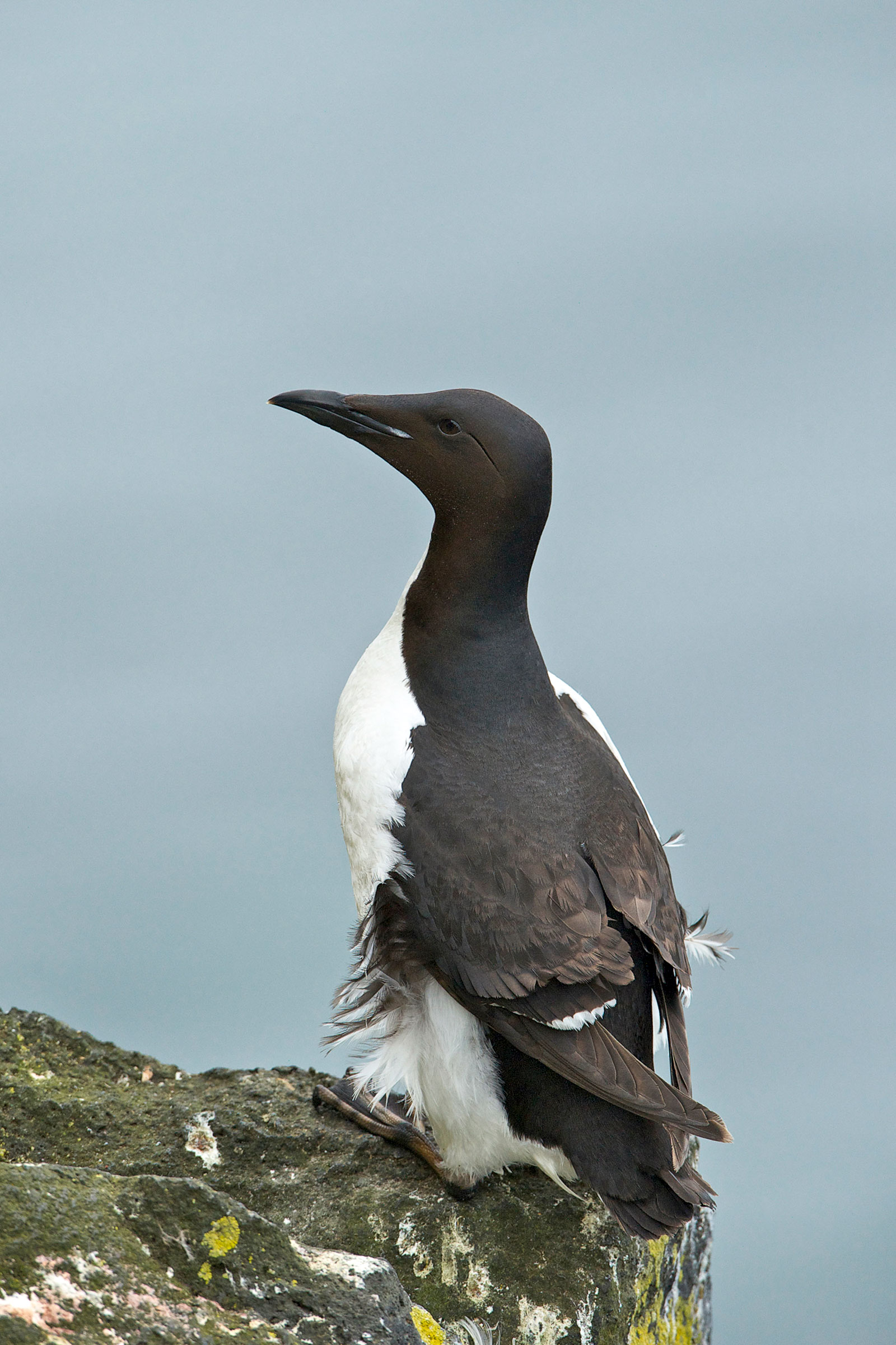 Thick-billed Murres, here in the Pribilof Islands on Bering Sea, are among the deepest-diving seabirds, sometimes plummeting past 600 feet beneath the surface. Enrique R. Aguirre Aves/Alamy
