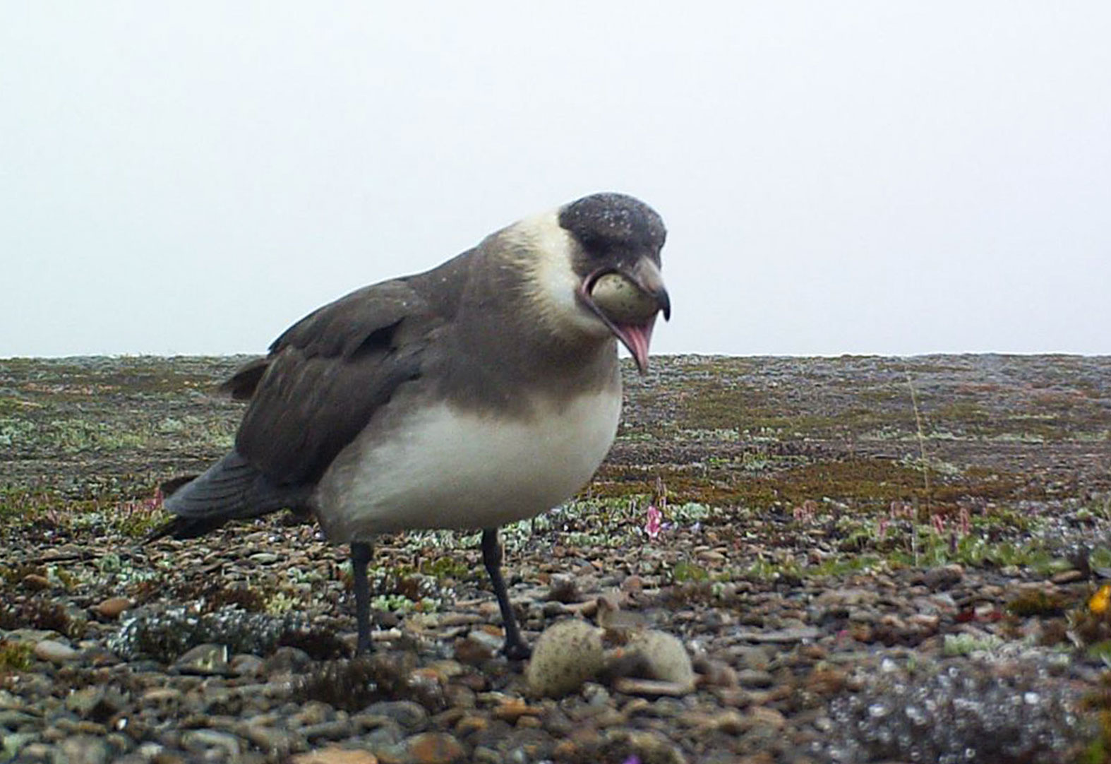 A Parasitic Jaeger (also known as Arctic Skua) swallows Common Ringed Plover eggs. True to its name, the seabird mostly subsists on food stolen from other birds. Pavel Tomkovich/BirdsRussia