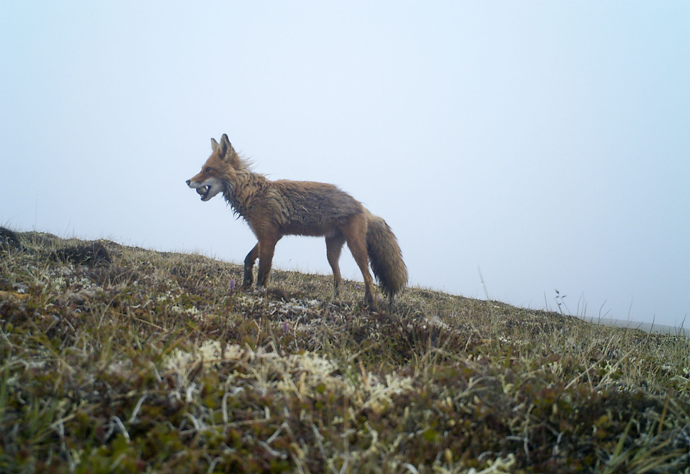 A Red Fox carries off an egg of a Pacific Golden-Plover in its mouth. Pavel Tomkovich/BirdsRussia