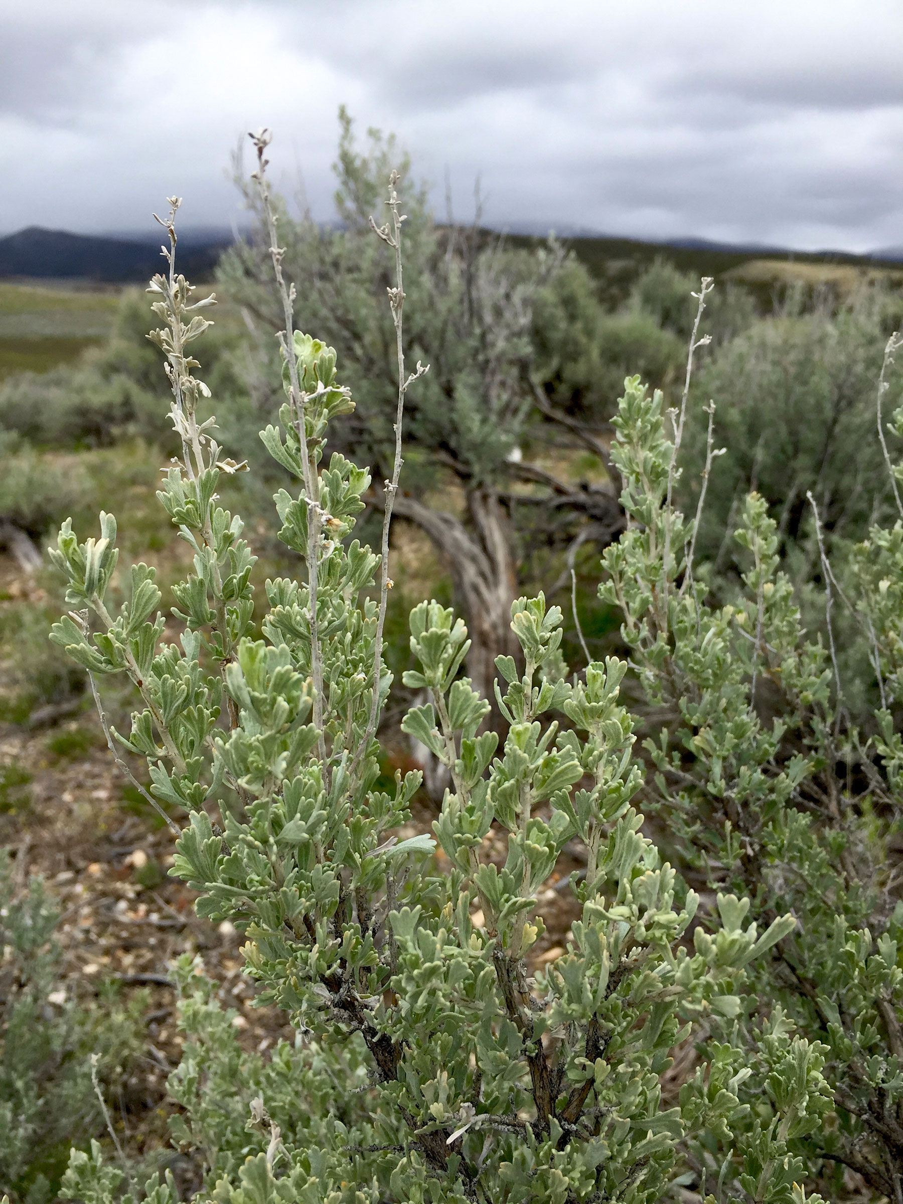 The fatter and healthier the sagebrush the better the canopy to protect sage-grouse from predators as the birds move along the ground or settle down to nest. Hannah Ryan