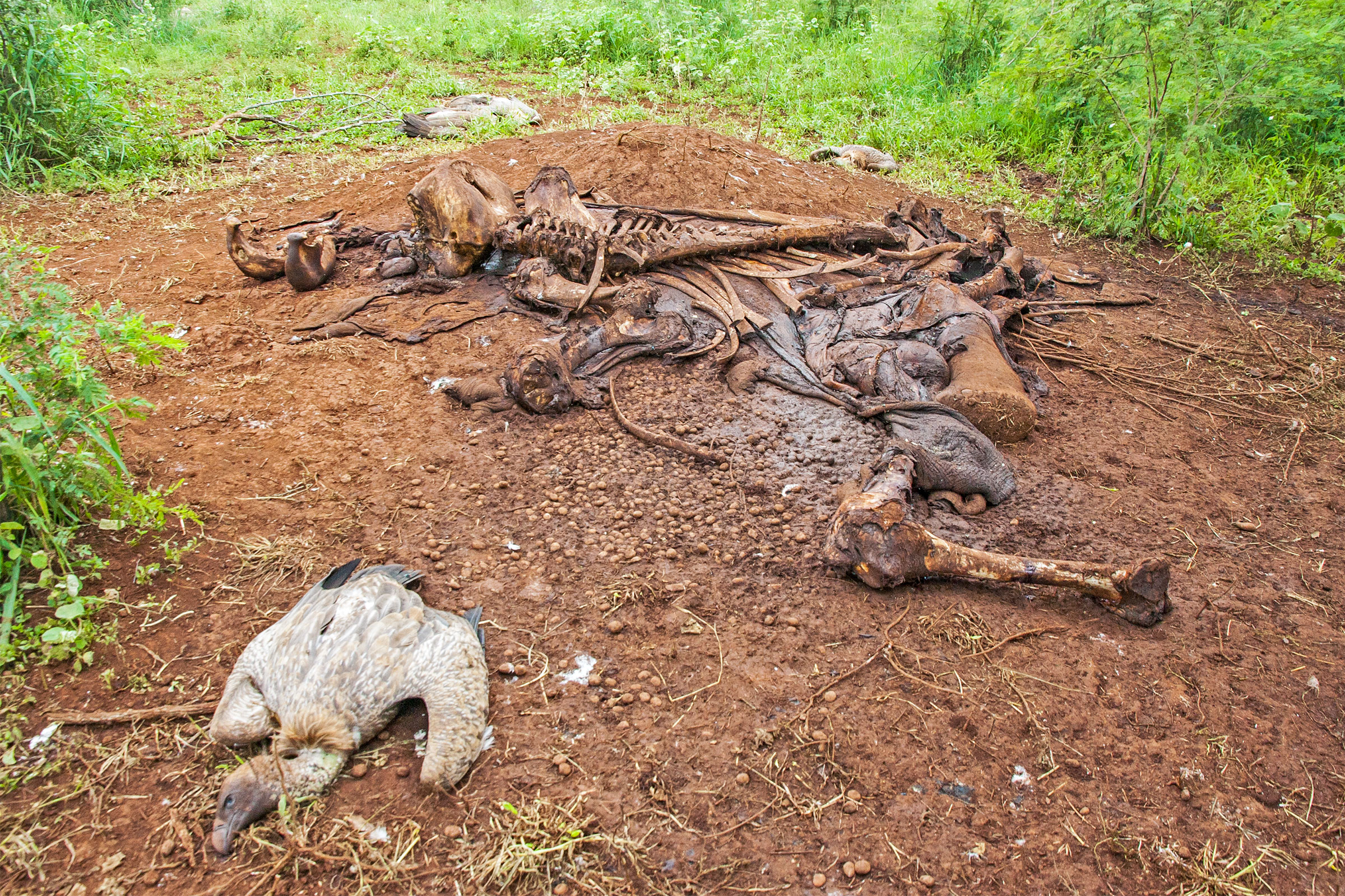 More than 100 White-backed Vultures and Hooded Vultures, both critically endangered, were poisoned in Mbashene, Mozambique in February of 2018. The birds were killed after feeding on a poisoned elephant carcass that was poached for its tusks. Photo: Andre Botha