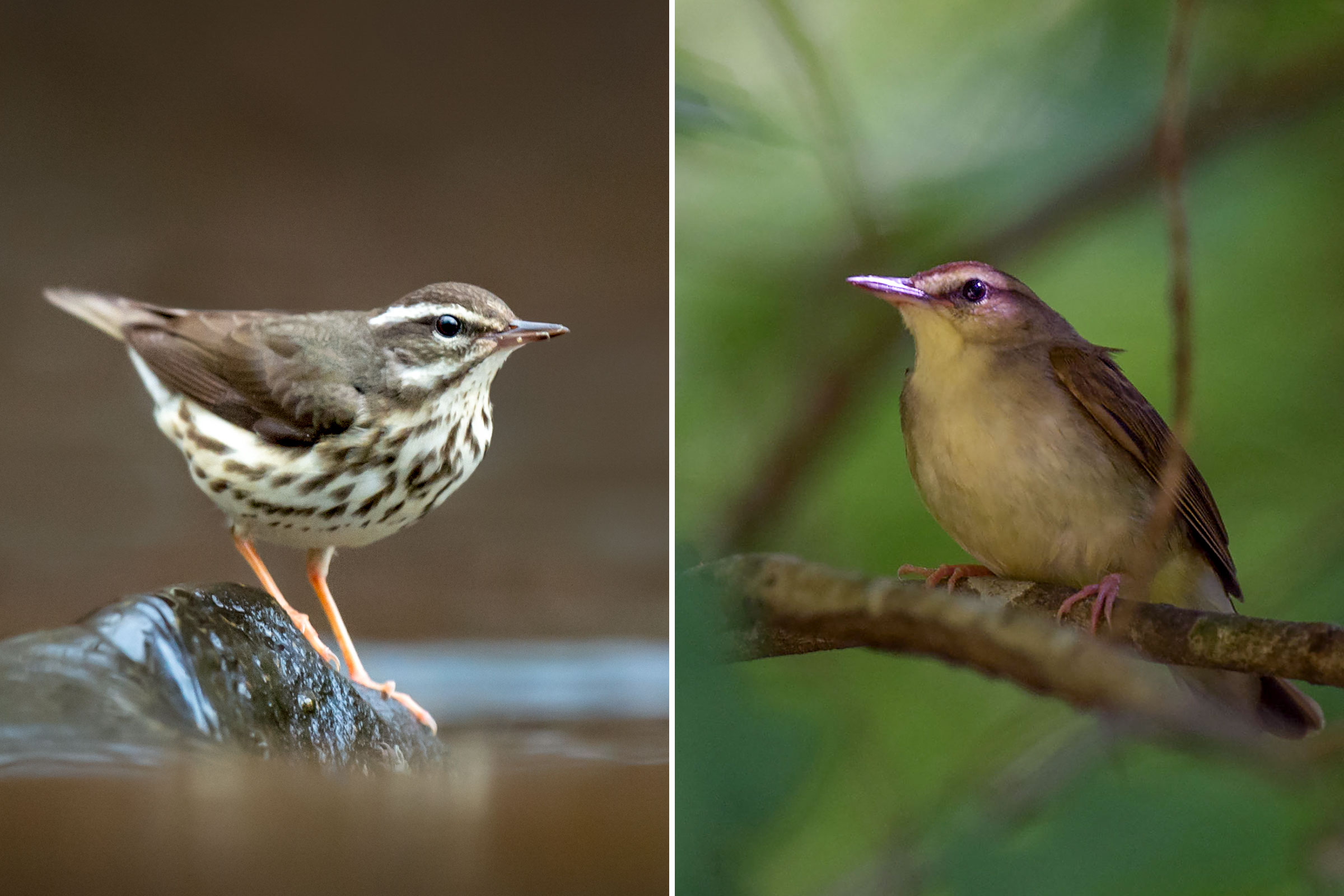 Photos from left: Louisiana Waterthrush, Ray Hennessy/iStock; Swainson's Warbler, Andy Reago & Chrissy McClarren/Flickr (CC BY 2.0)