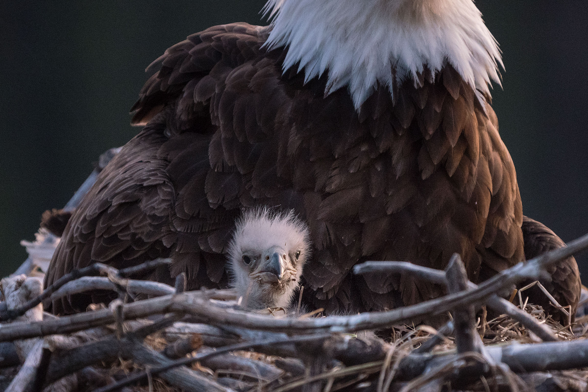 After more than a decade striving to photograph a Bald Eagle nest with eaglets, photographer Peter Mather finally captured this and the above image. Read the story of how here. Peter Mather