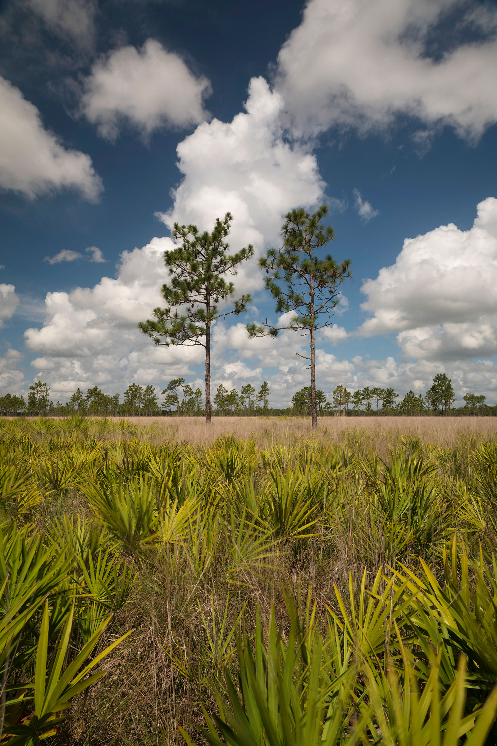 The classic dry prairie at Three Lakes near Miami, Florida, is carefully managed to meet the sparrows' needs. But even here, the birds are not faring well. Mac Stone.