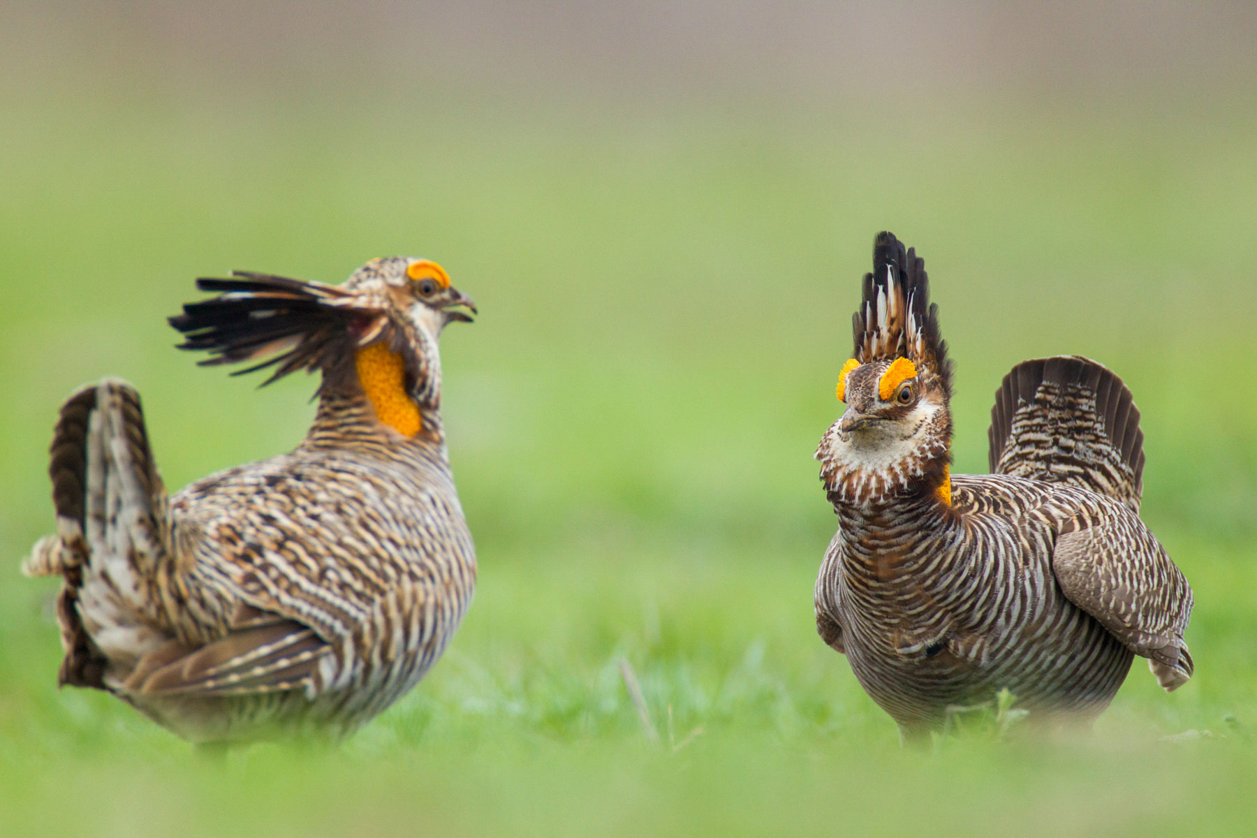 Two male prairie-chickens prepare for battle to defend their territory early in the morning at Attwater's Prairie-Chicken National Wildlife Refuge near Eagle Lake, Texas. Noppadol Paothong