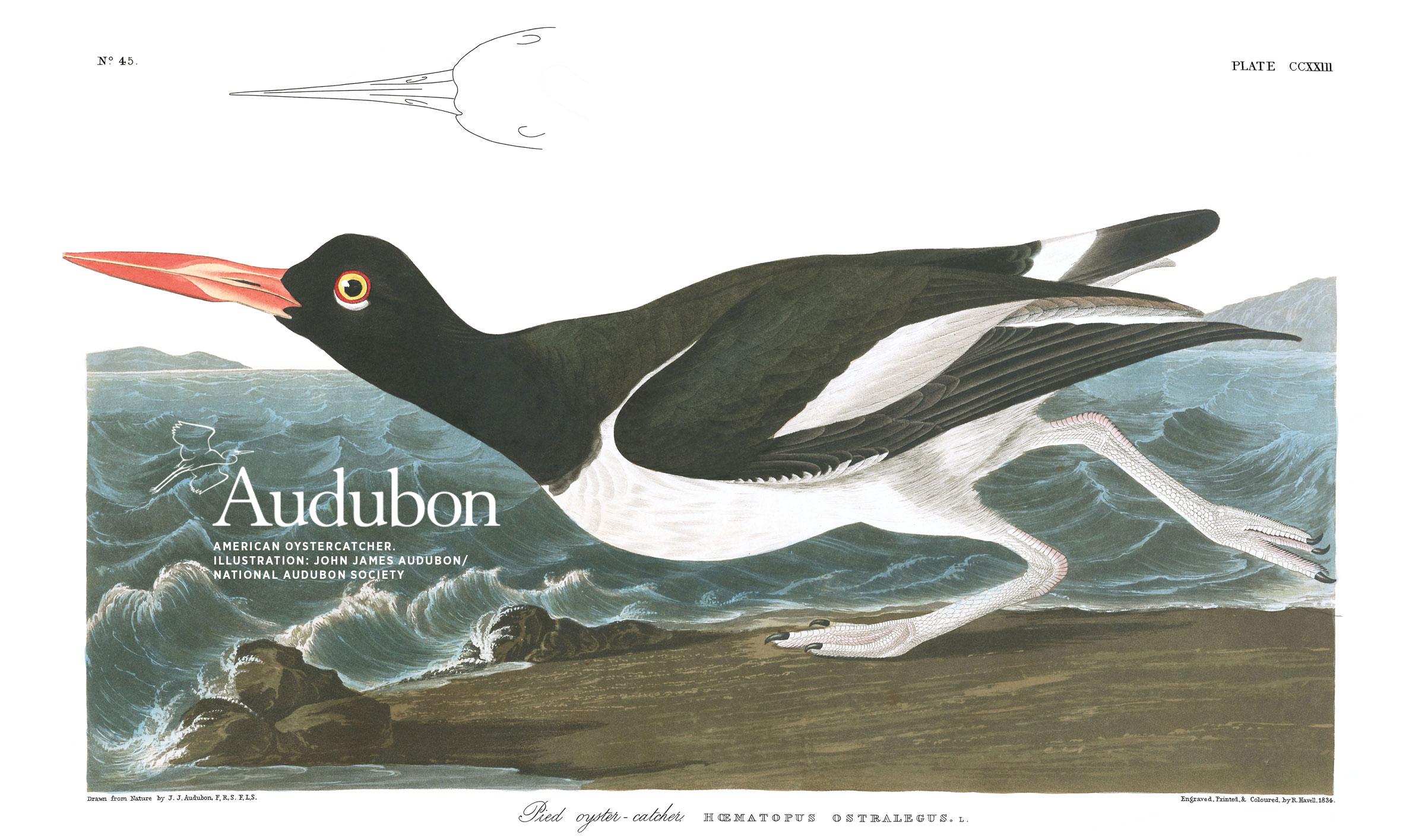 Illustration: John James Audubon/National Audubon Society