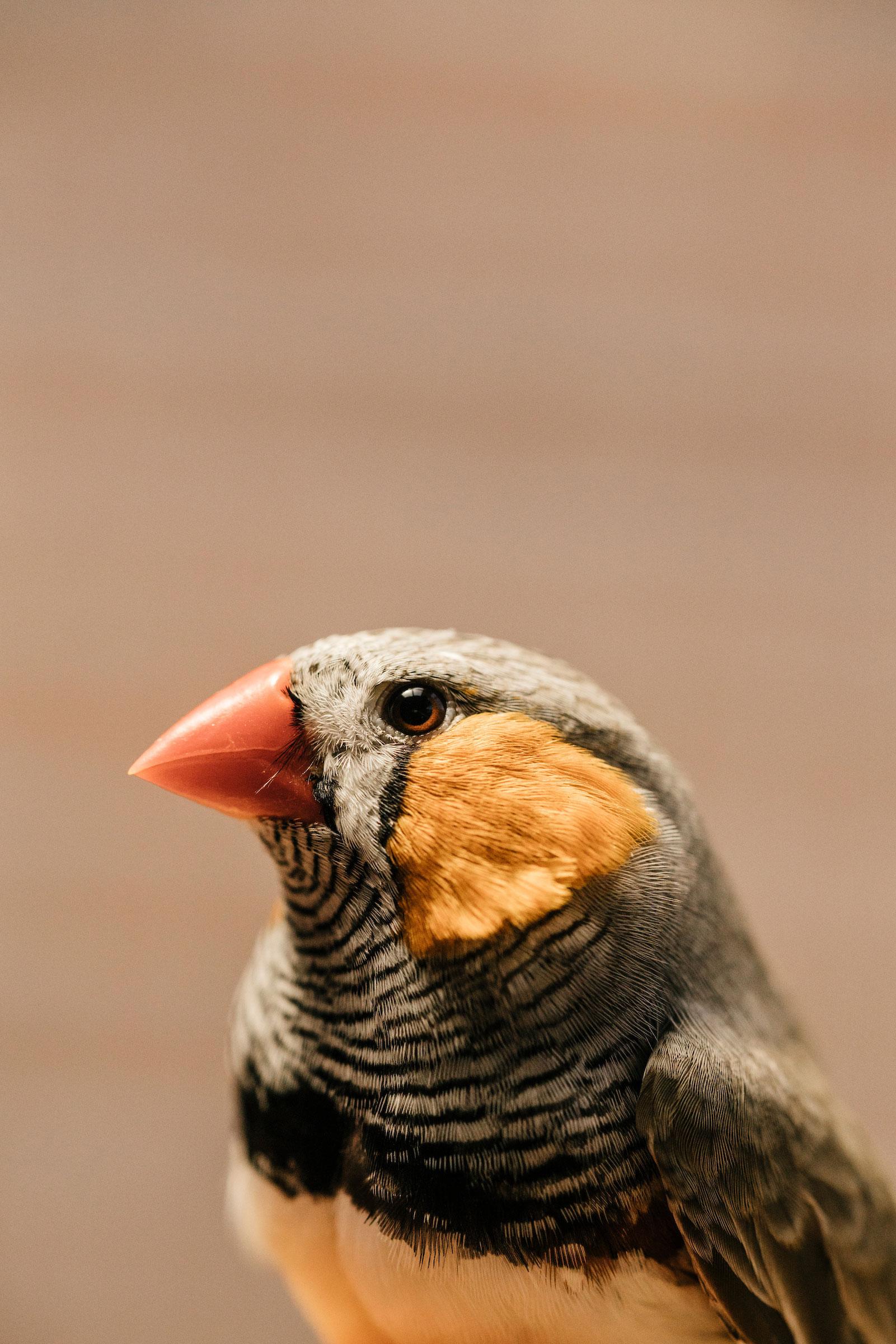 Al darles dosis de mercurio a pinzones cebra, como este macho, se demostró el modo en que la toxina afectaría a las aves en el entorno silvestre.